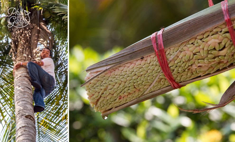 coconut_palm_sugar_Bangkok_video_and_review