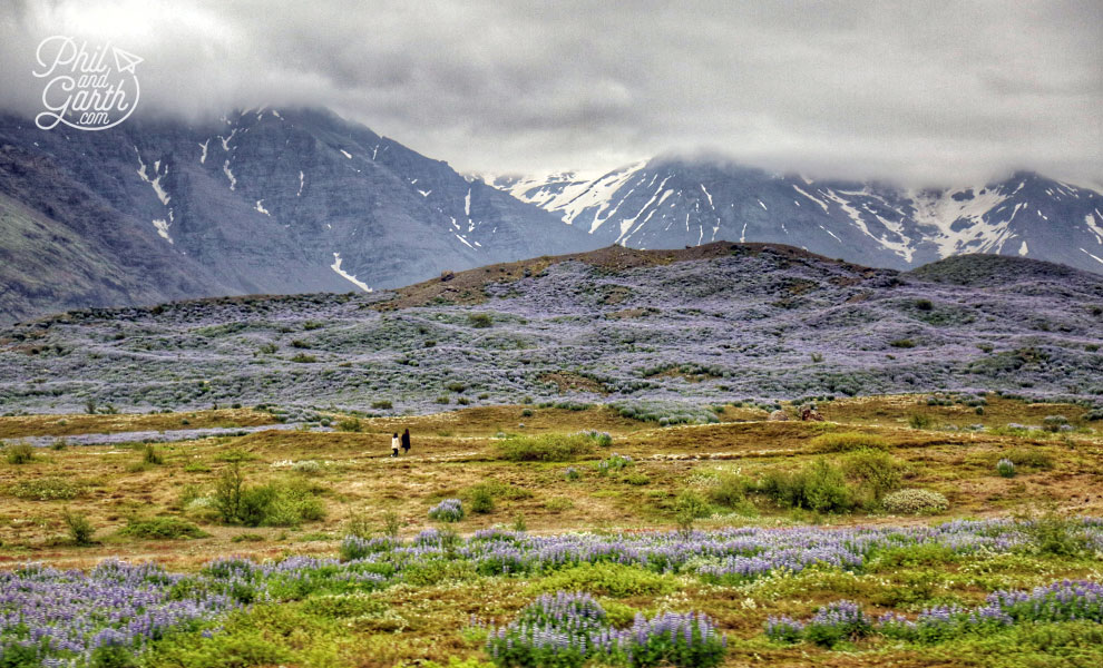 Iceland-south-alaksa-blue-lupines-travel-review
