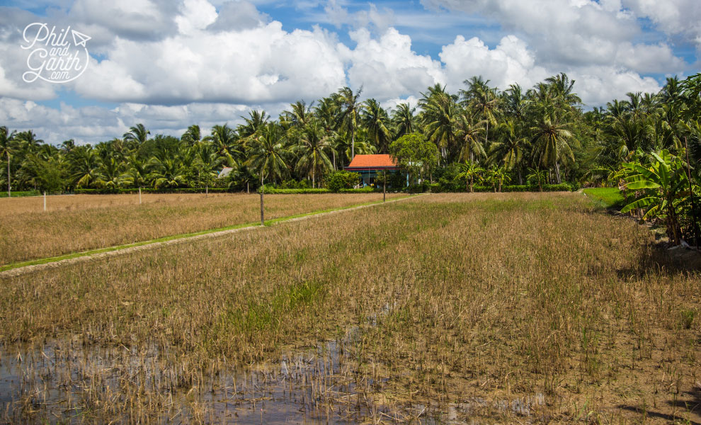 Coconut palms and harvested rice fields