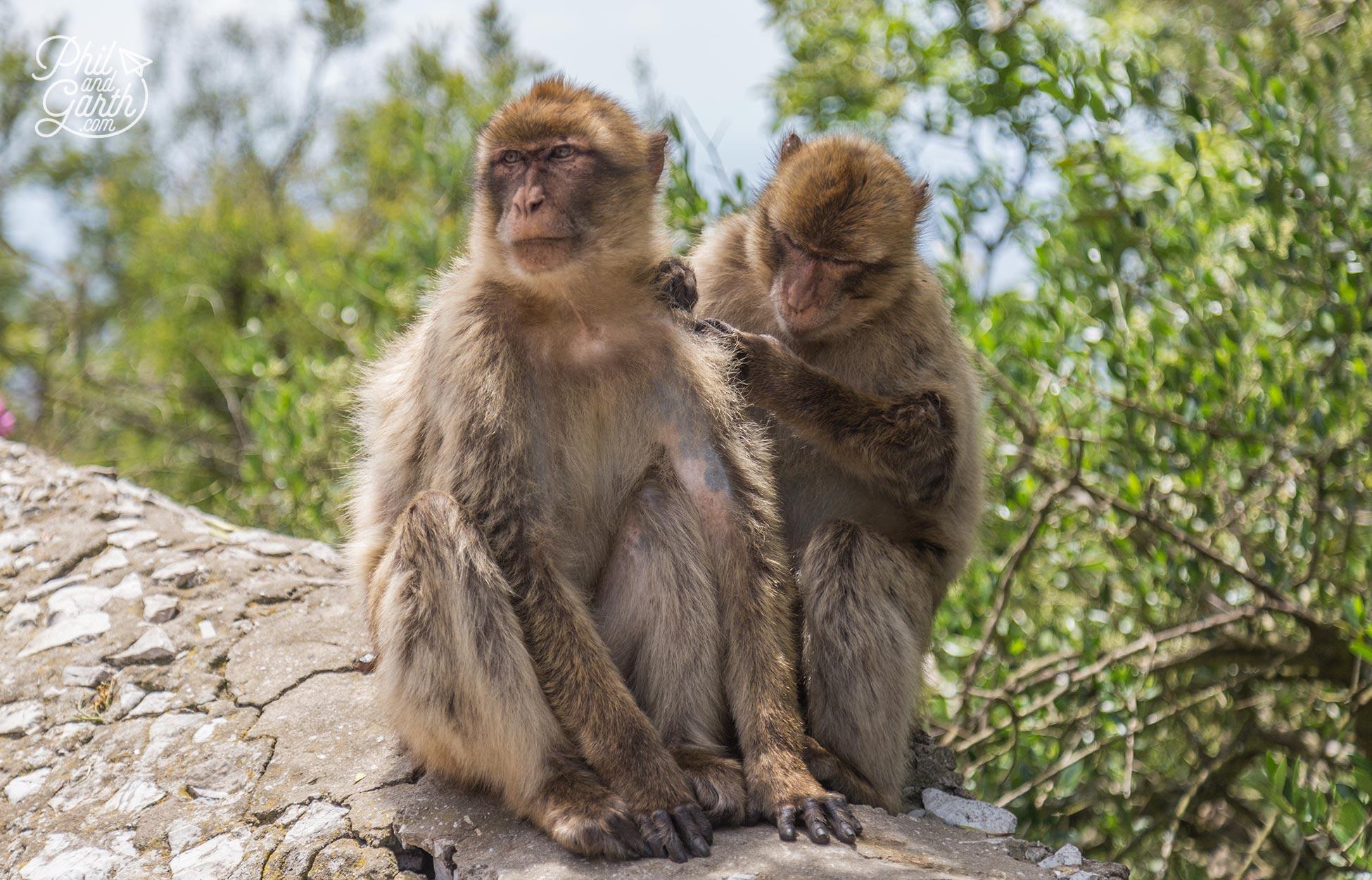 More apes at the Upper Apes Den
