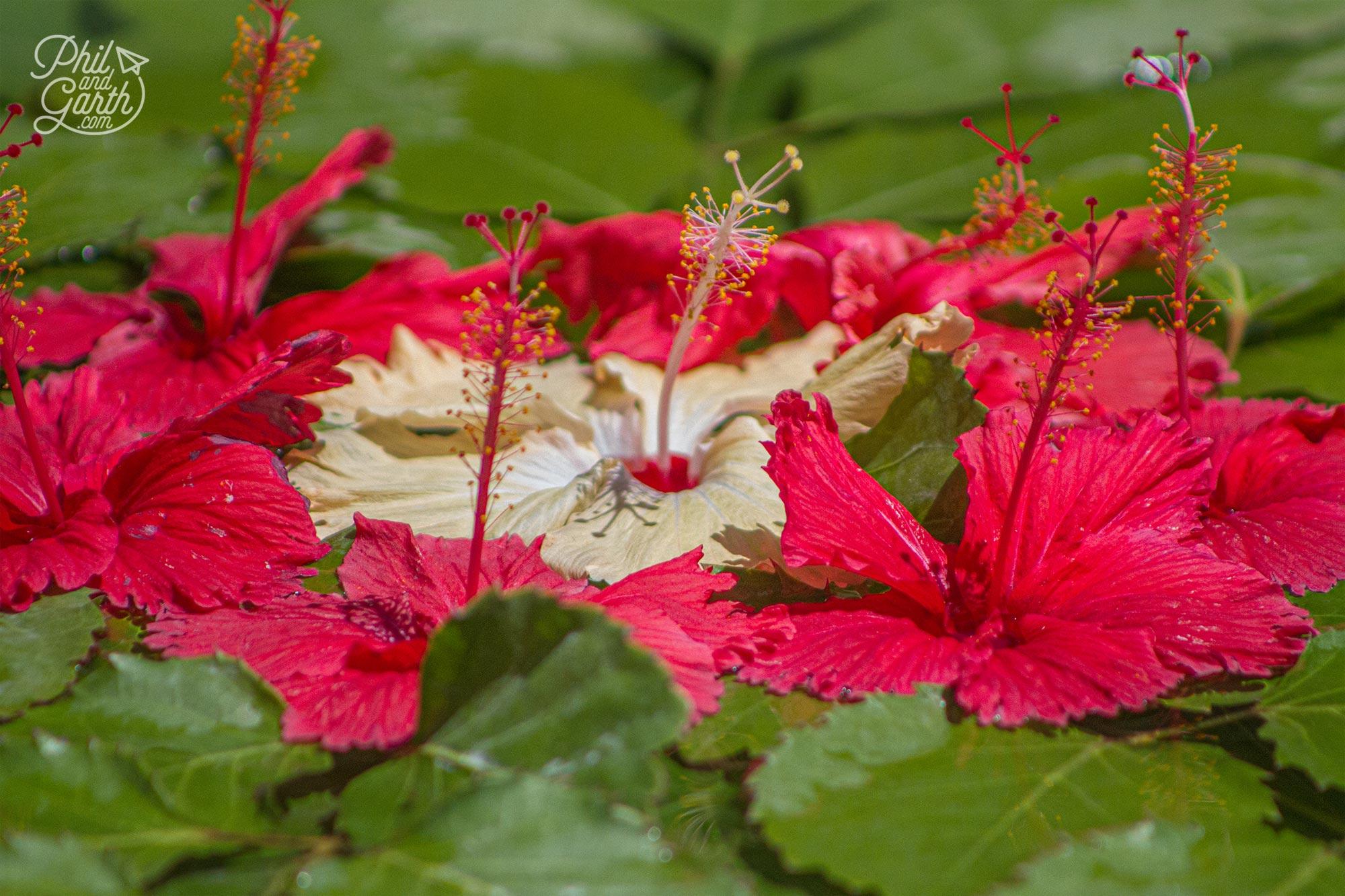 Different coloured hibiscus flowers make wonderful displays