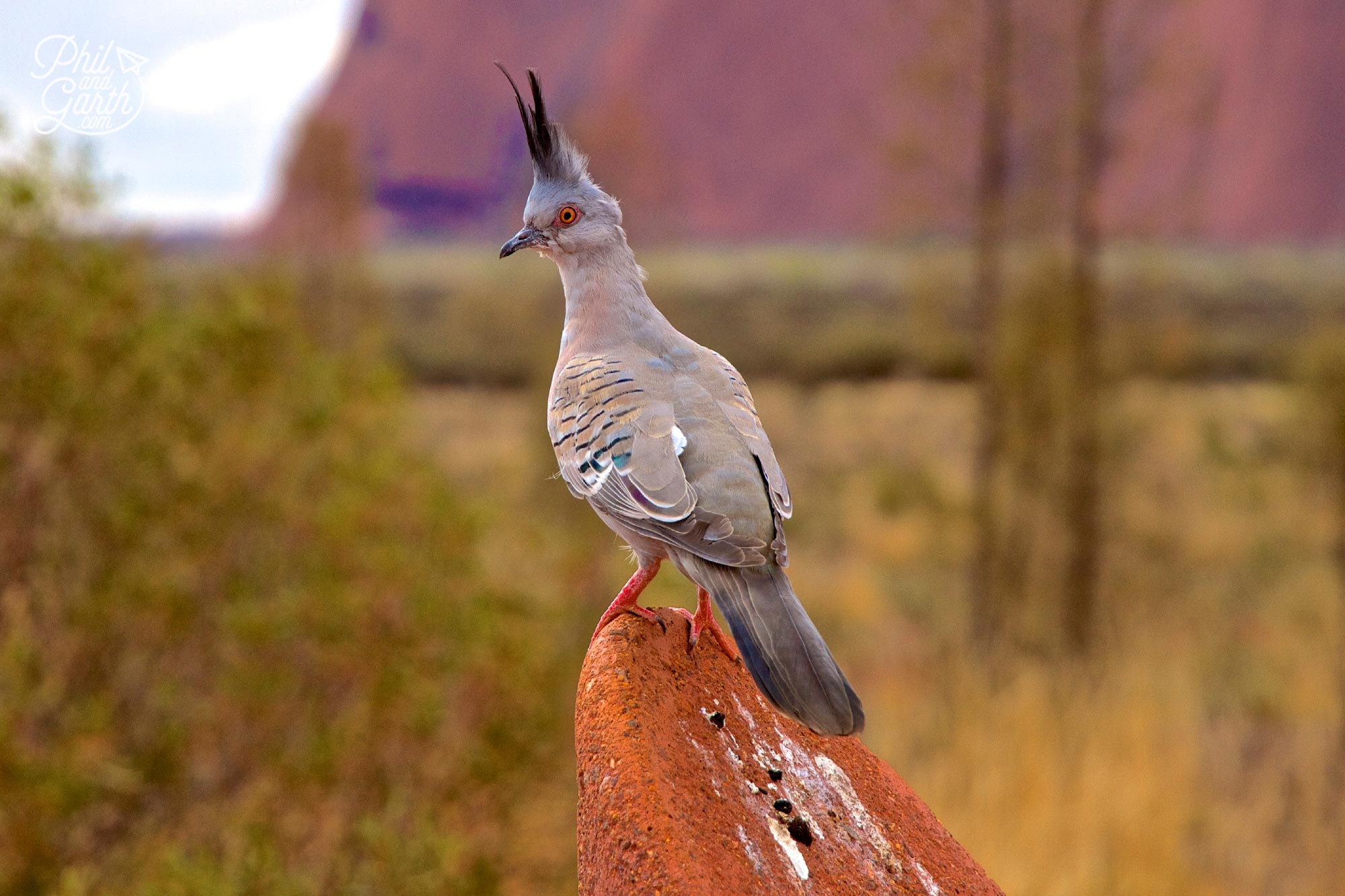 There's lots of wildlife at Uluru, we saw lizards and this crested pigeon