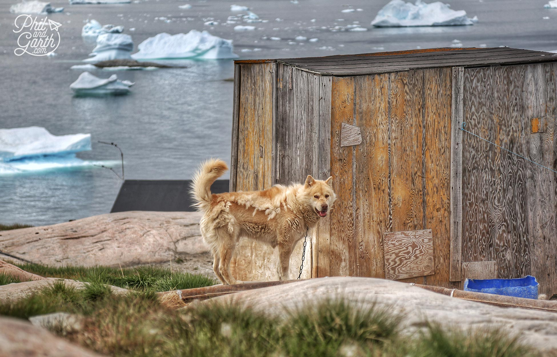 There are about 4,000 sled dogs in Ilulissat