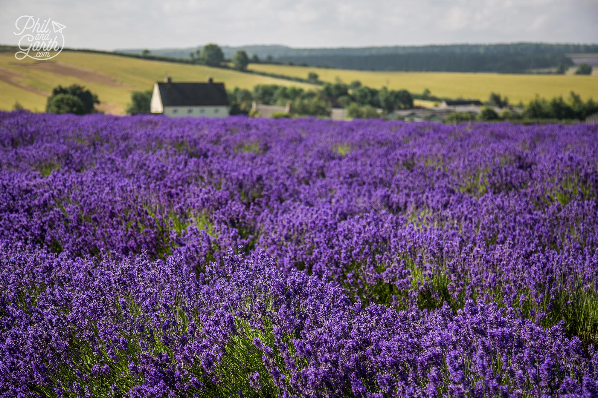 English Lavender fields The Cotswolds