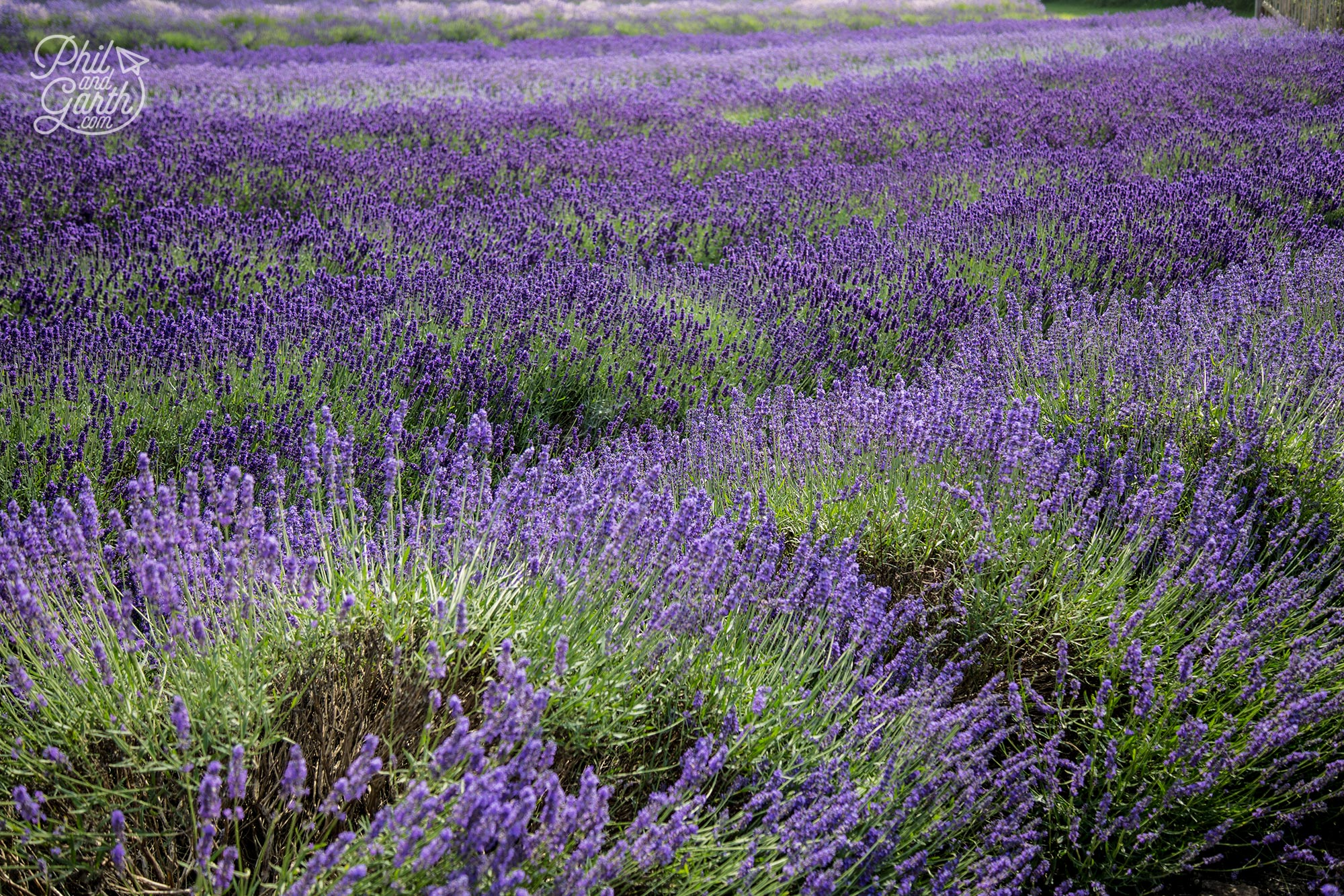 Rows of different types of lavender
