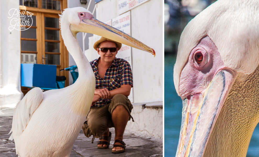 Finding Petros the Pelican