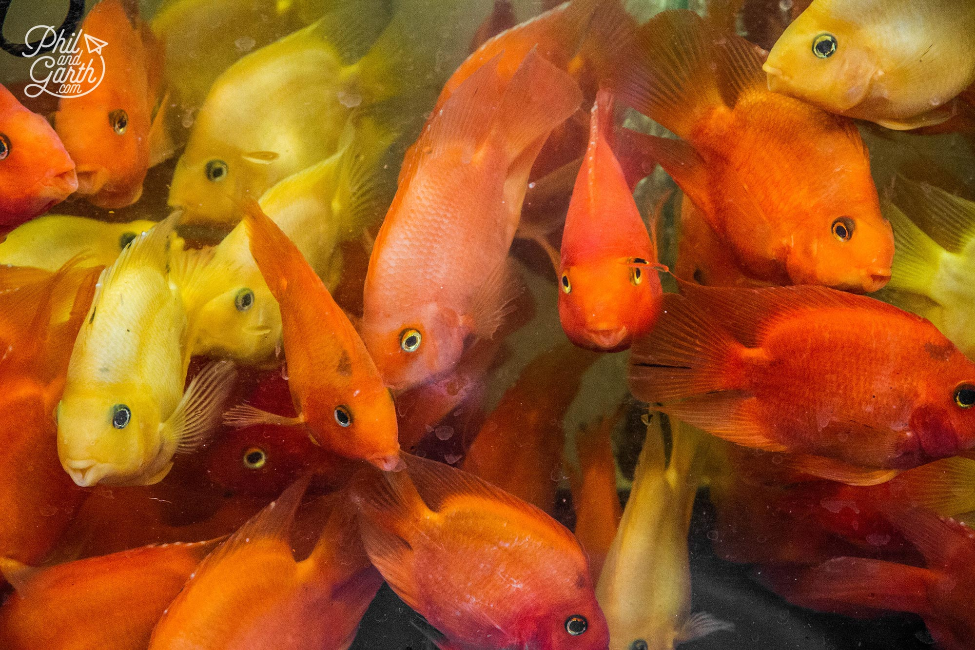 Koi Carp and goldfish for sale