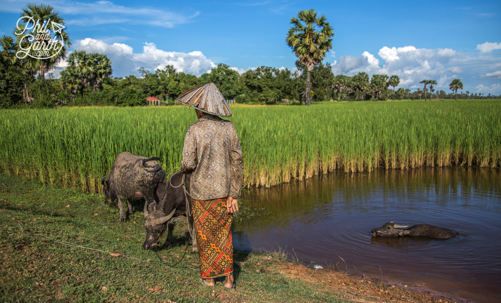 A farmer and his water buffalo in Angkor's rice fields