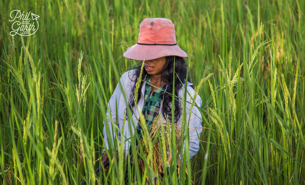 This farmer's wife doing some weeding in the rice