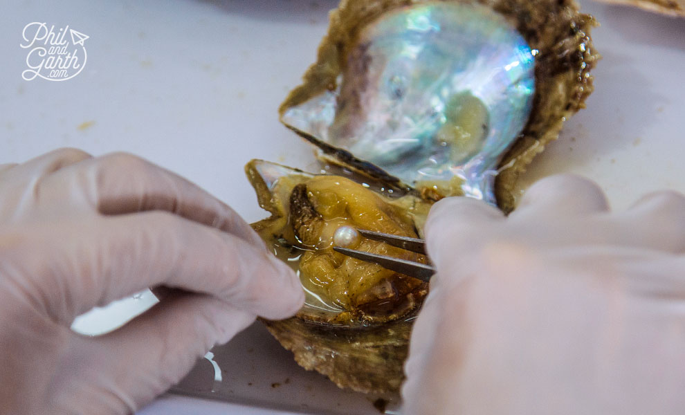 End of the road for this oyster, as the pearl is removed