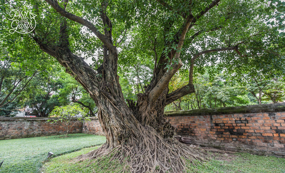 1,000 year old Banyan Tree