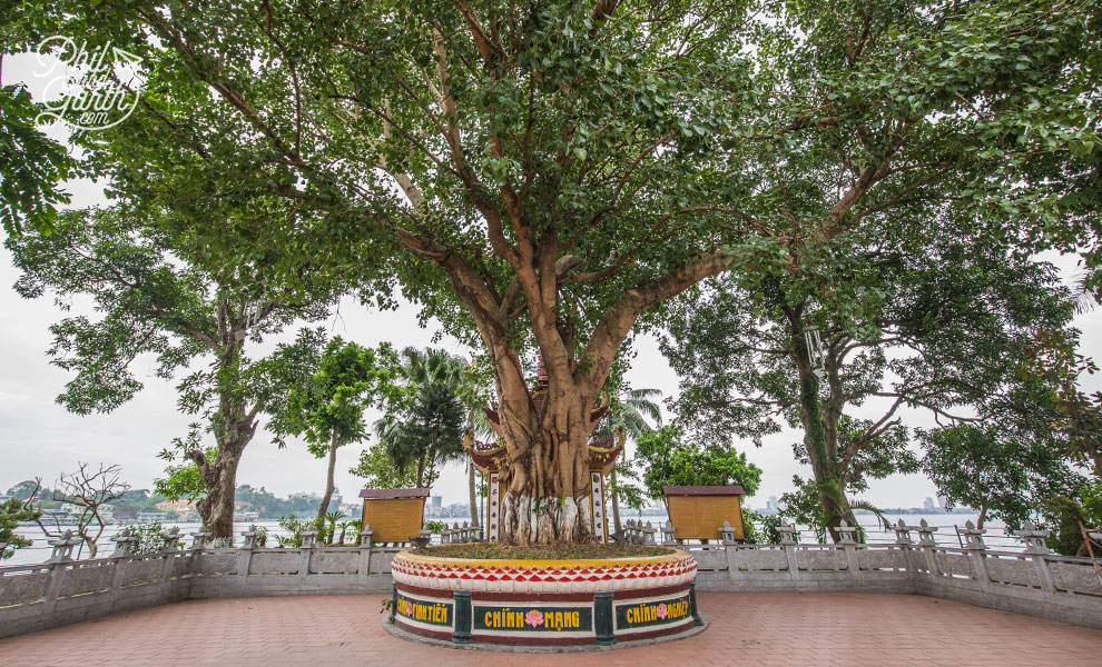 50+ year old Bodhi tree