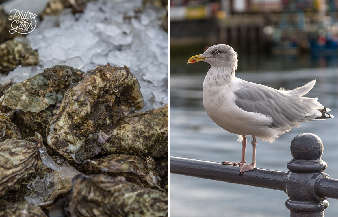 Fresh oysters and seagulls in Oban's harbour