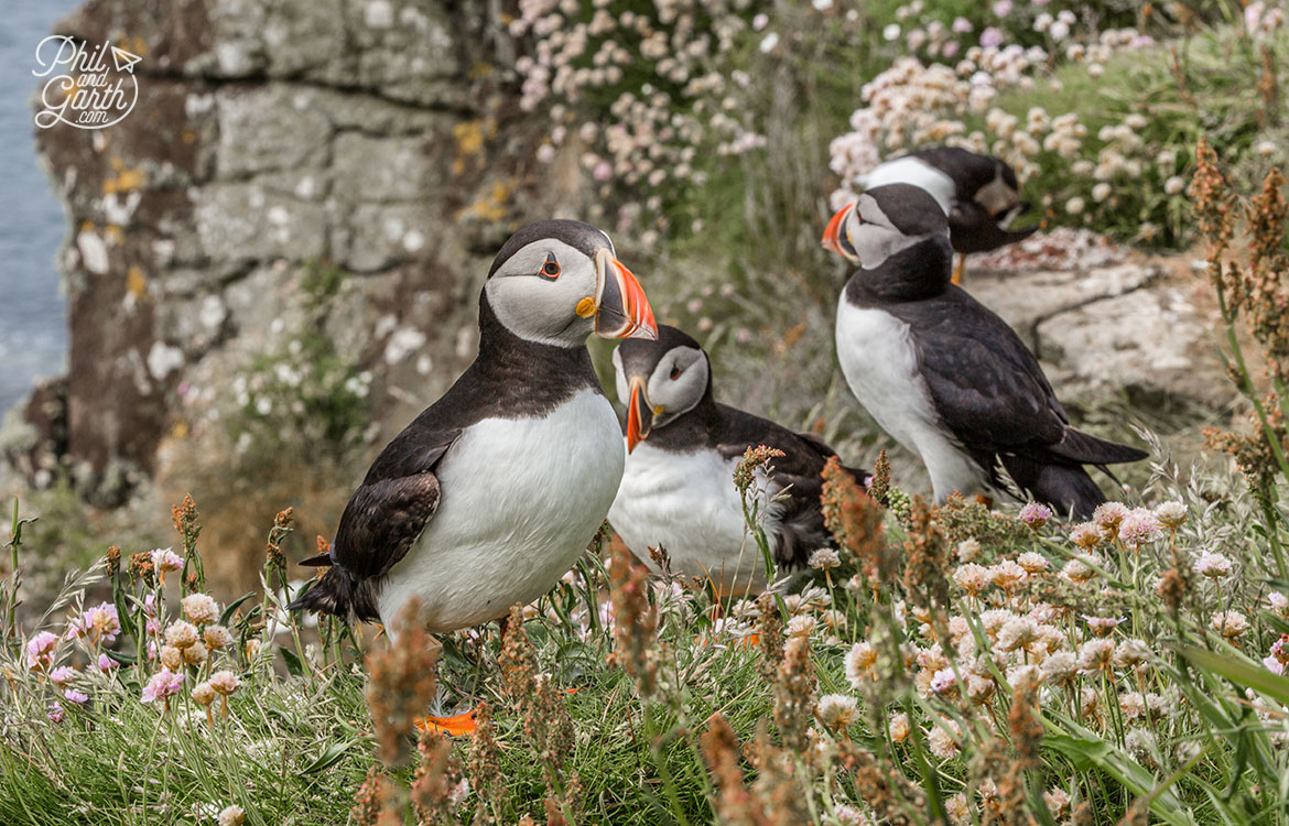 Group of Puffins perched on the edge of the cliff