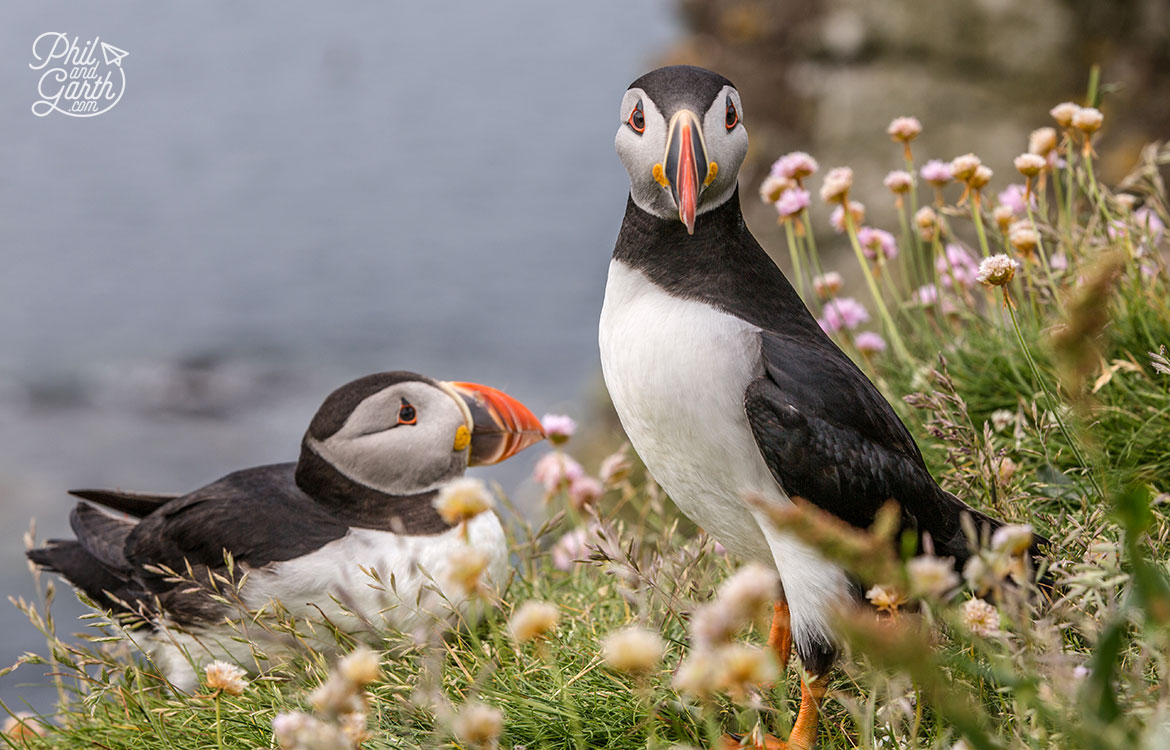 Puffins love showing off!