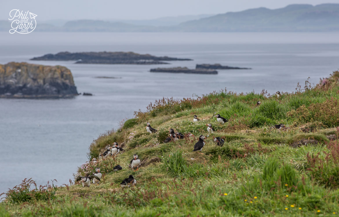 Hidden in the long grass - Puffins nest underground in burrows.
