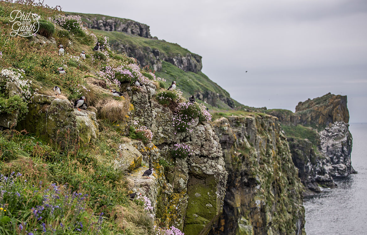 Isle of Lunga, can you spot all of the puffins?