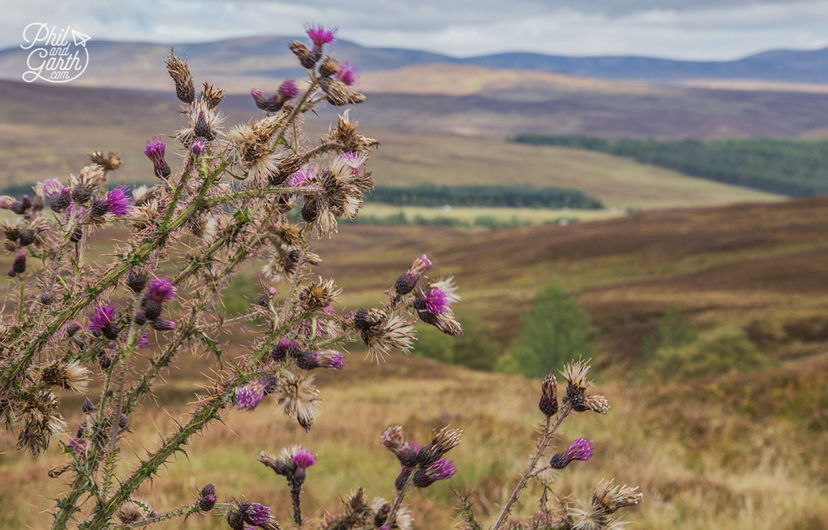 Scottish Highlands in 7 Days - The Scottish thistle has been the country's national emblem since 1249.