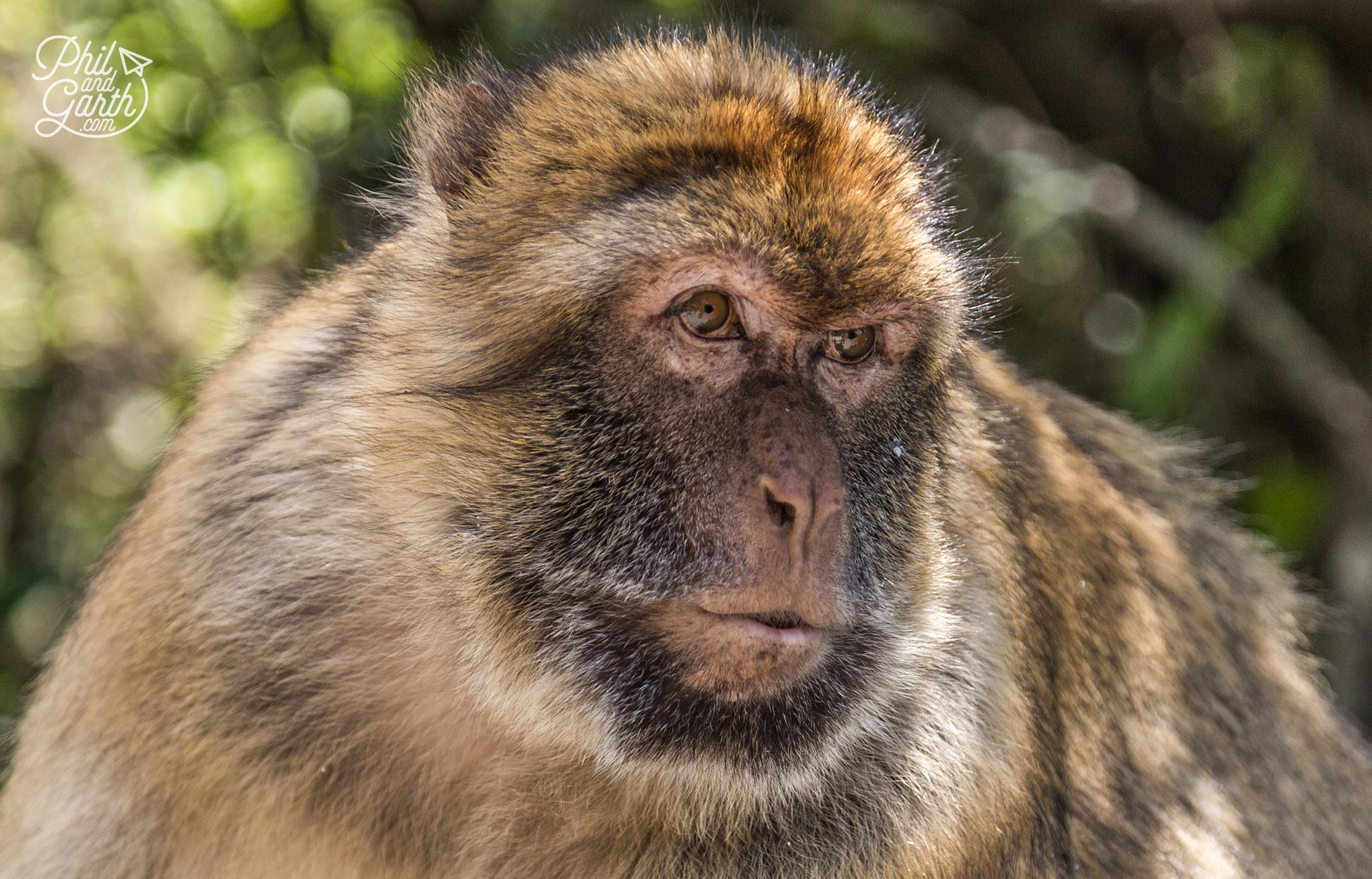 The cute looking barbary macaques