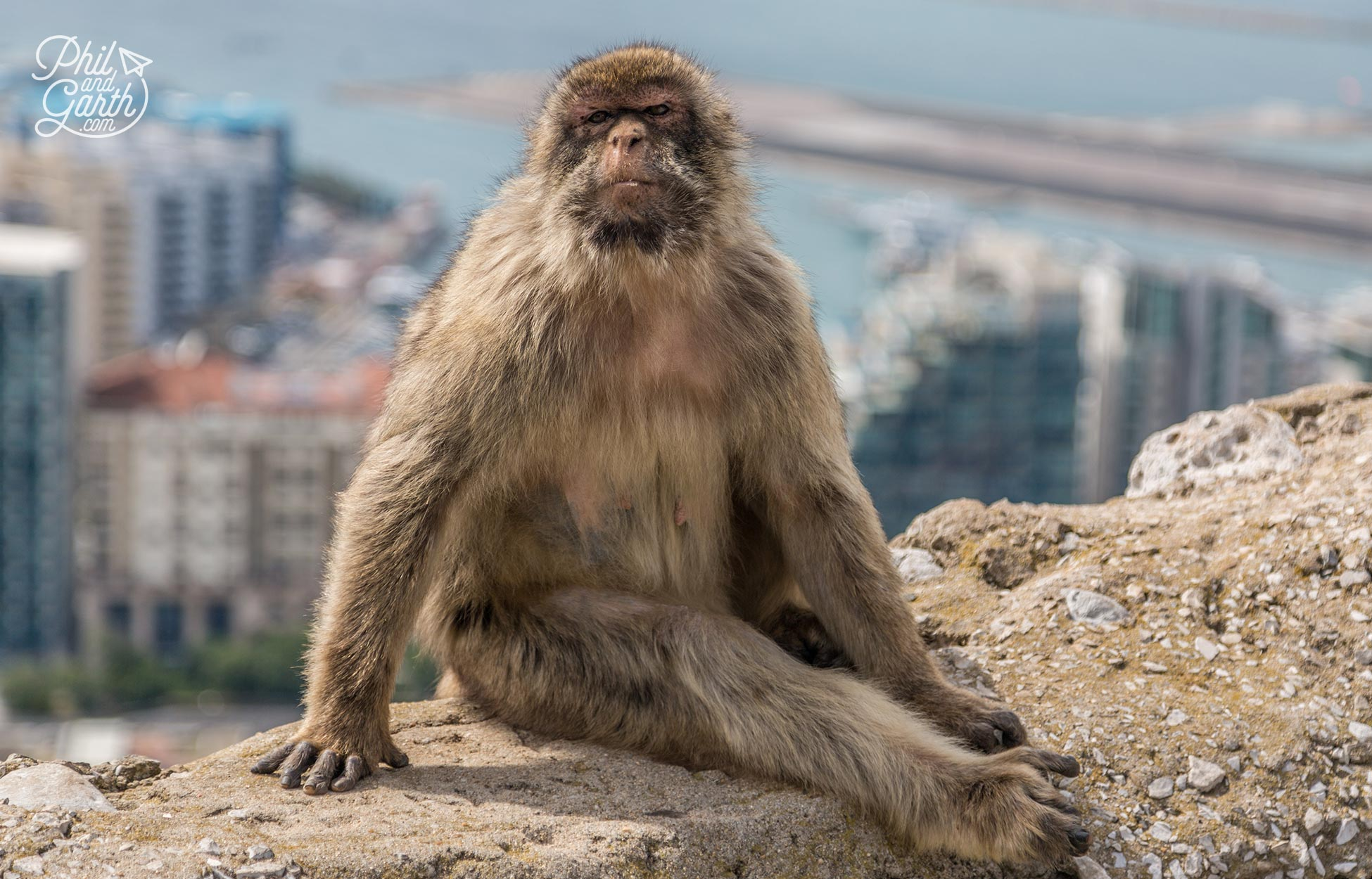 Gibraltar's famous residents – Barbary macaques