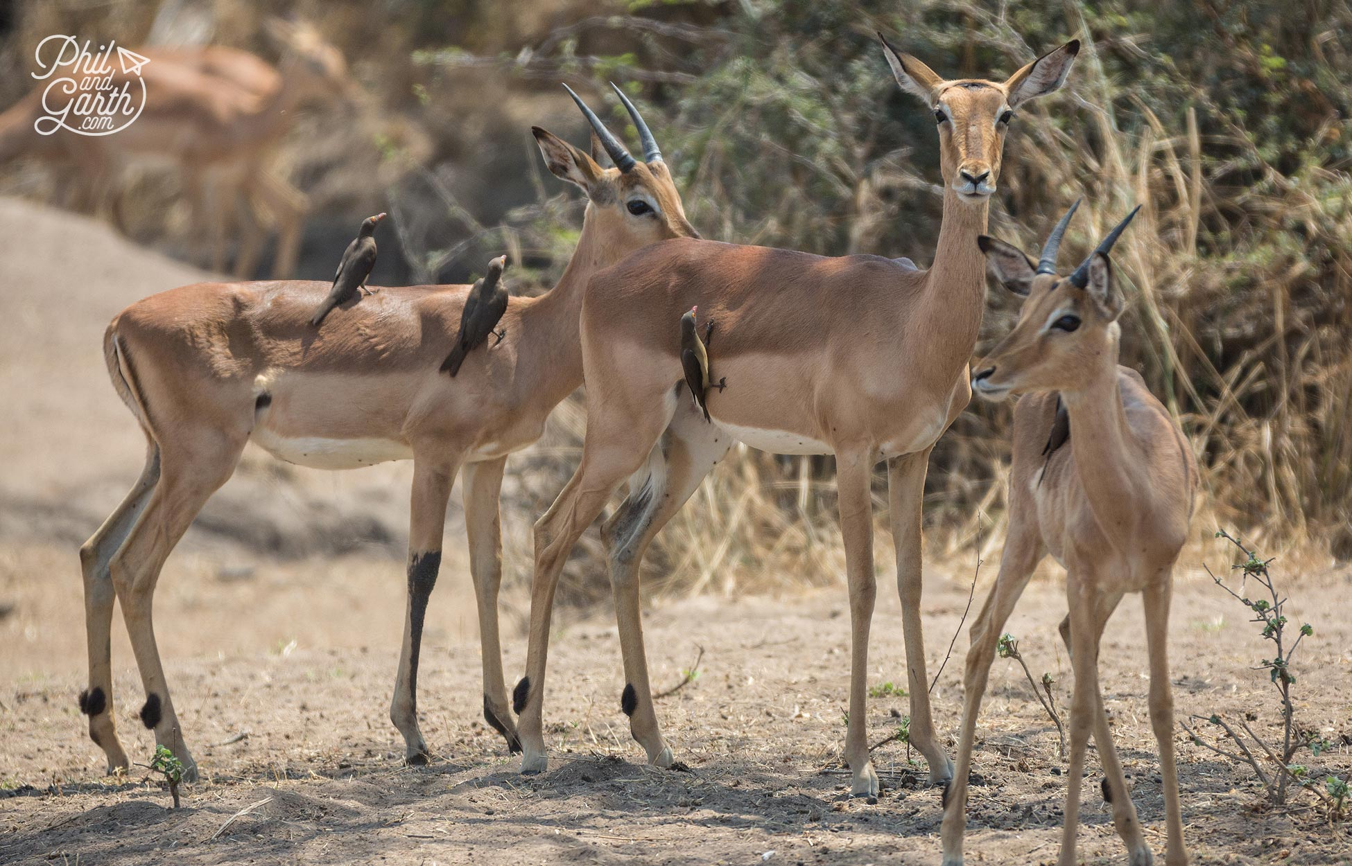 3 lovely Impalas with some friends taking a ride. There's loads of Impalas and they're everywhere