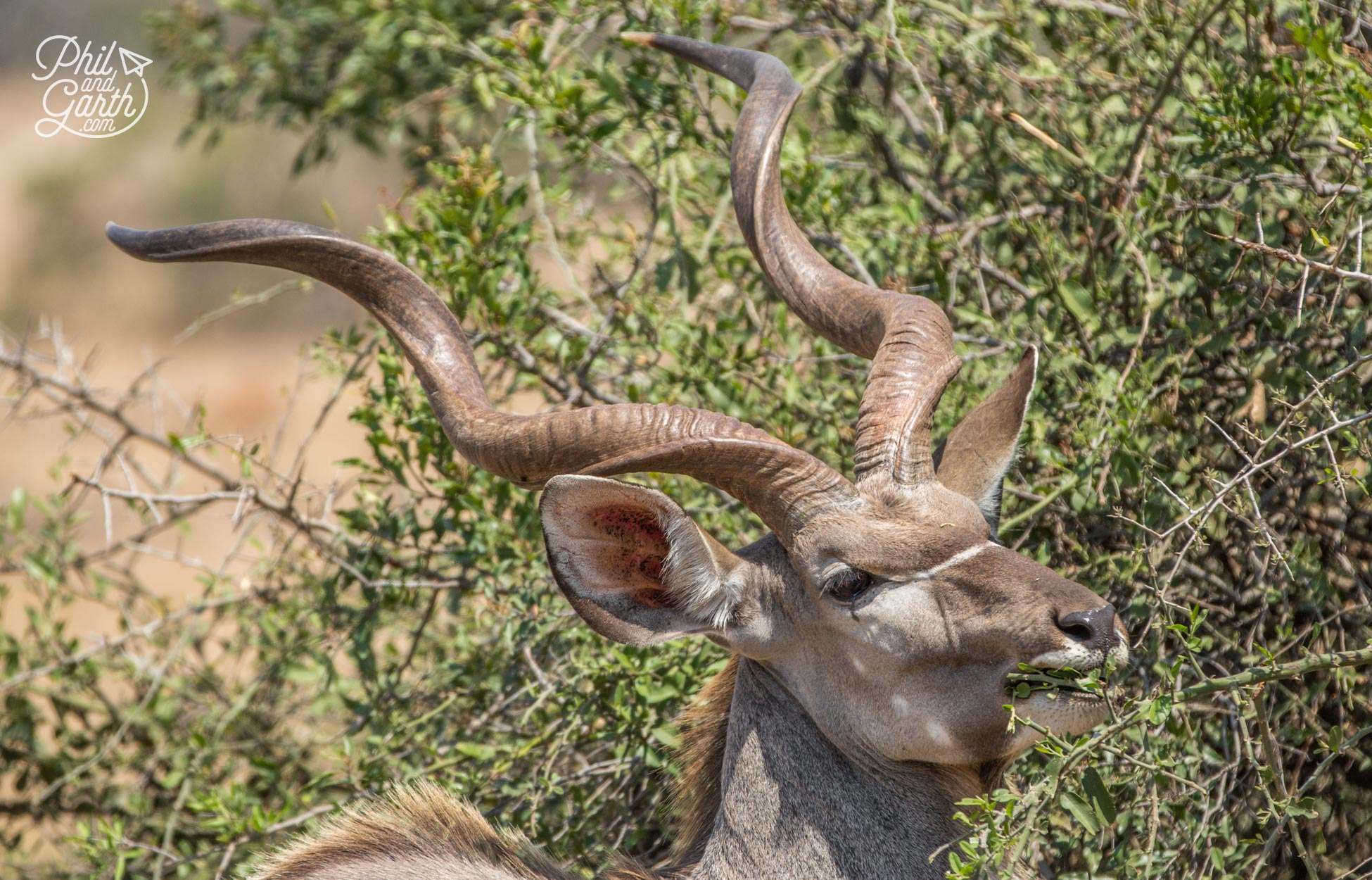 A kudu with their distinctive twisted antlers