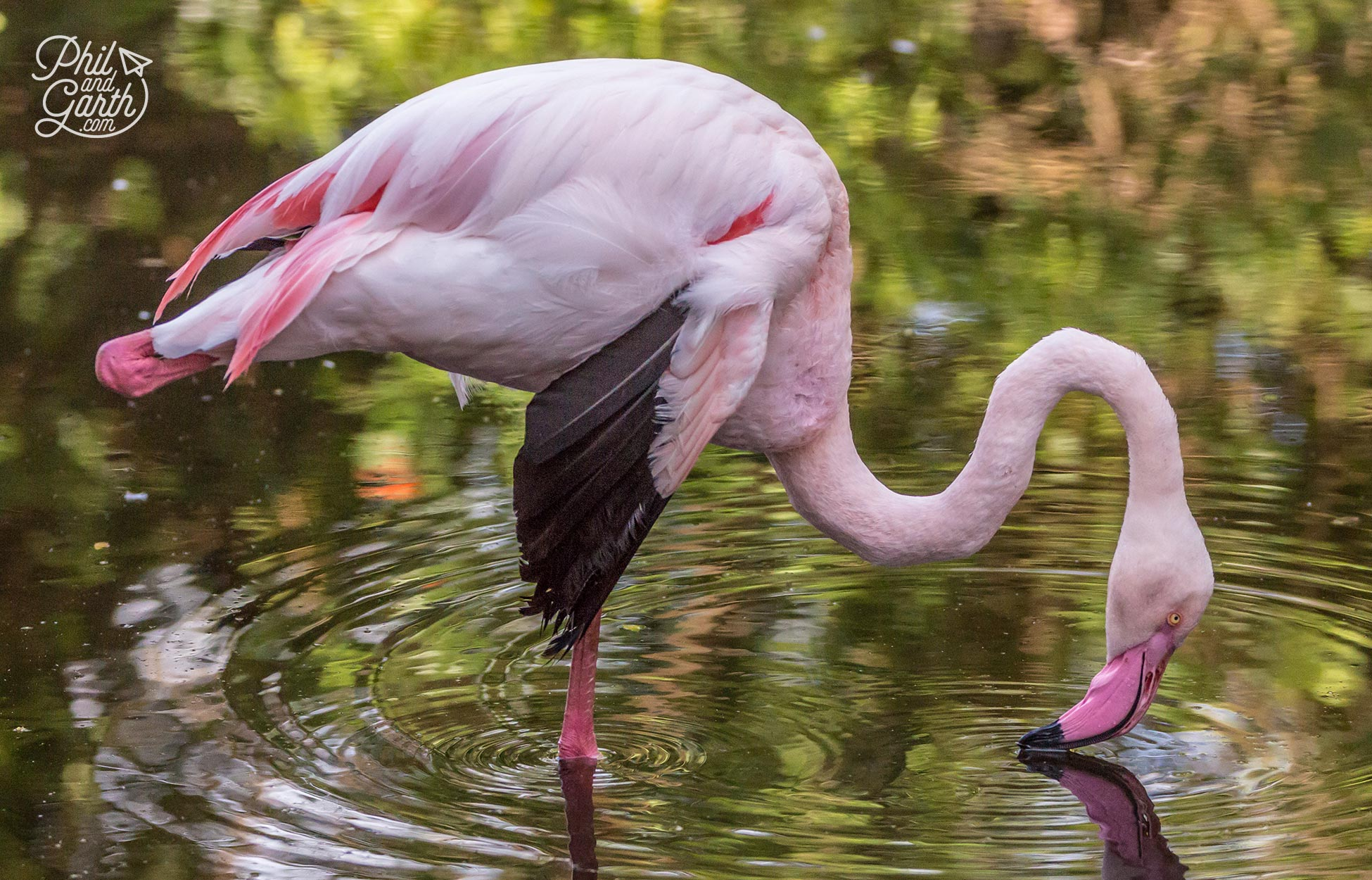 A pink flamingo takes a drink