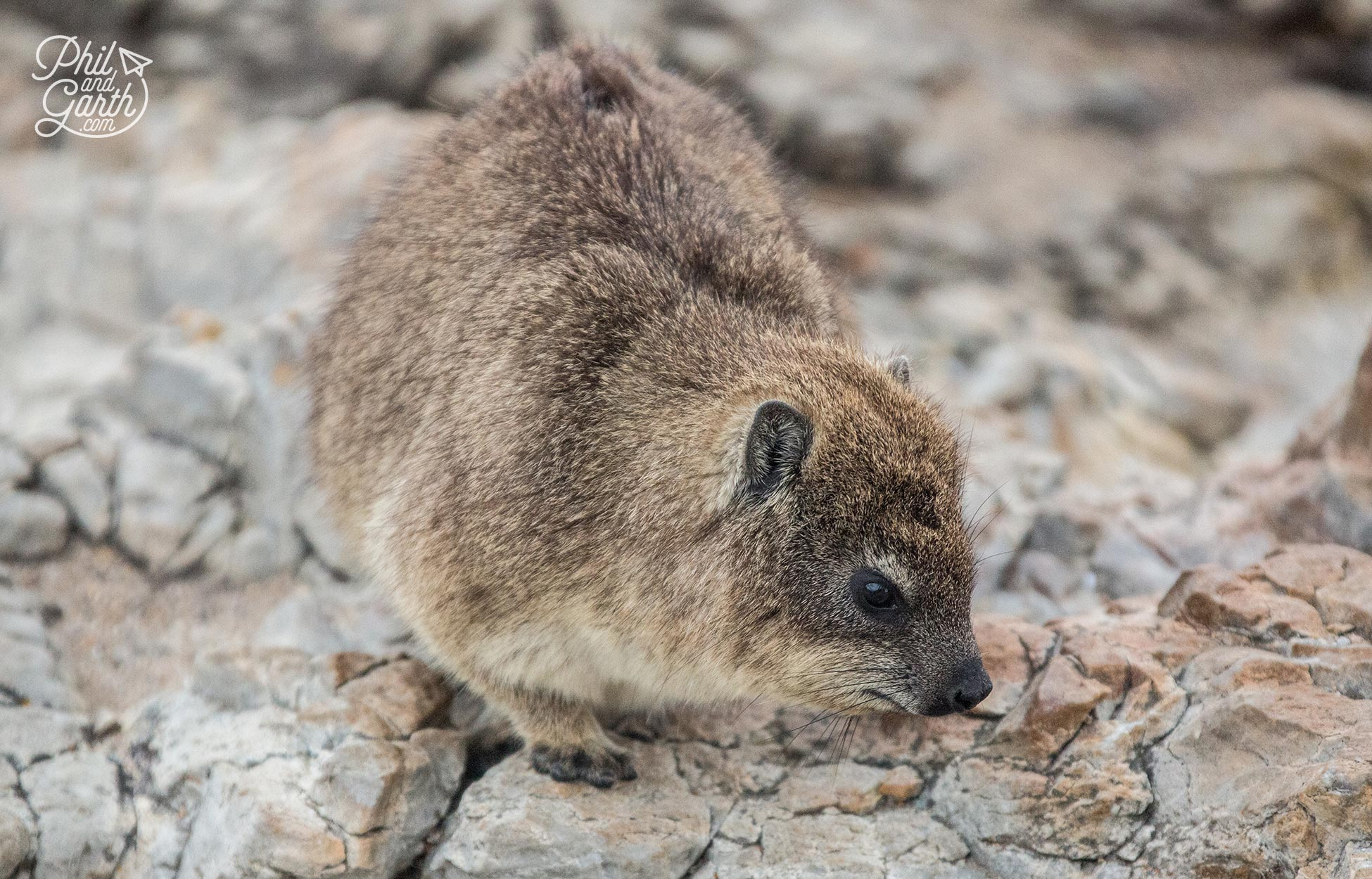 We saw dozens of these guys - Rock Dassies on the cliff
