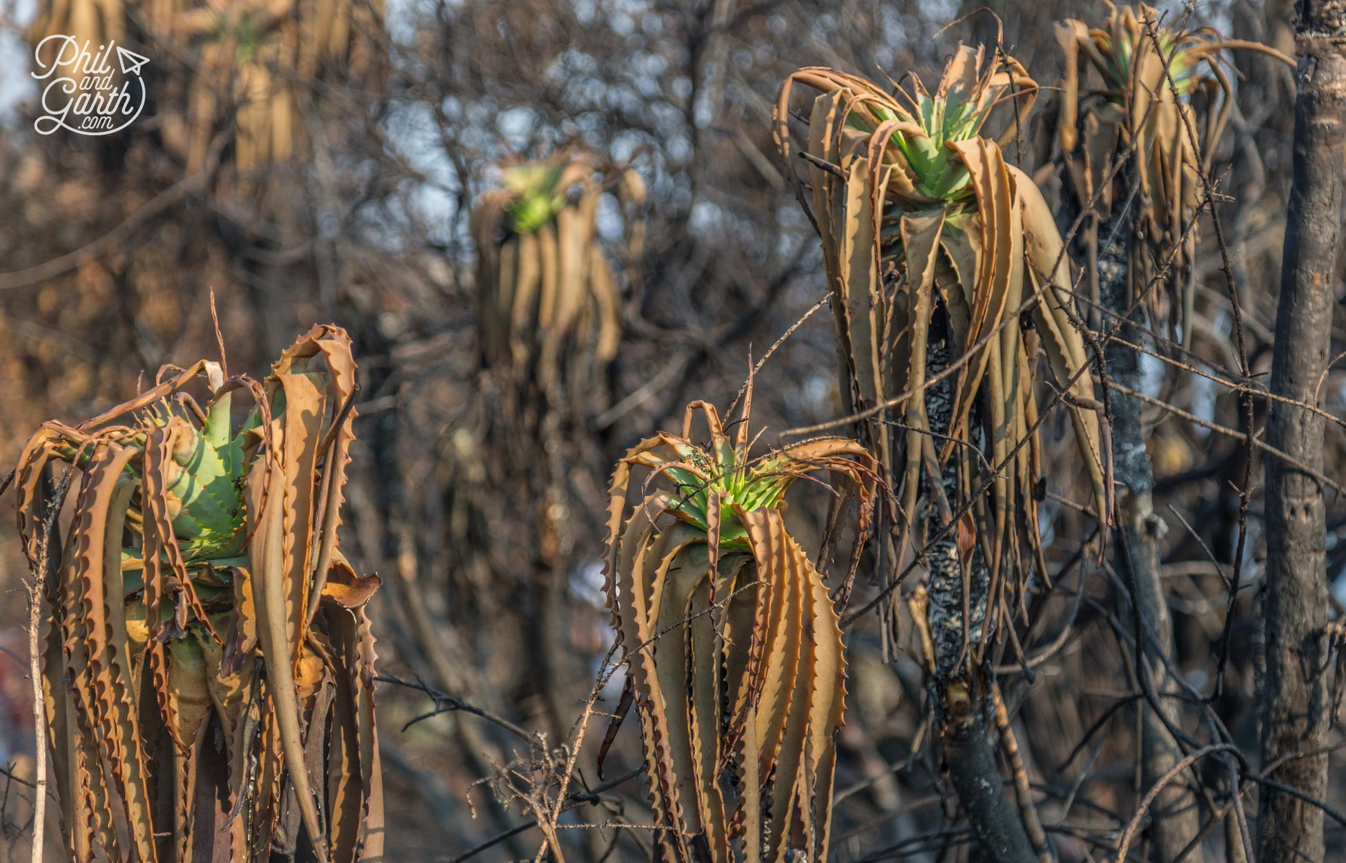 Aloe vera plants caught up in wild fires