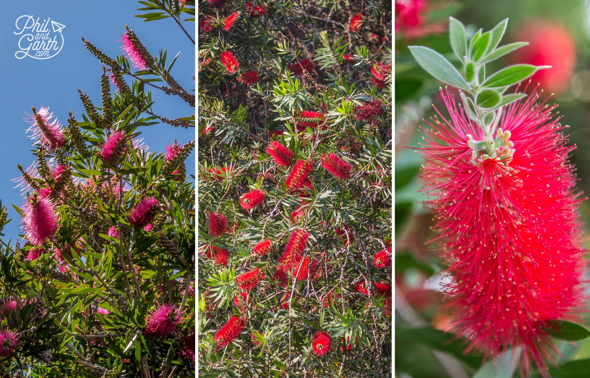 Bottlebrush plants are everywhere in Knysna and South Africa