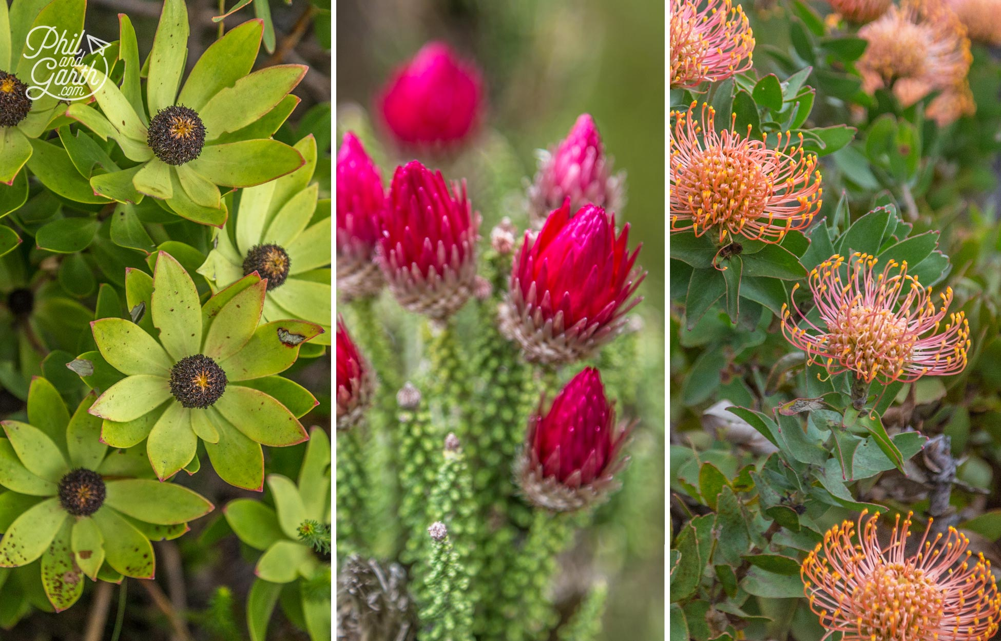 Different varieties of fynbos flowers