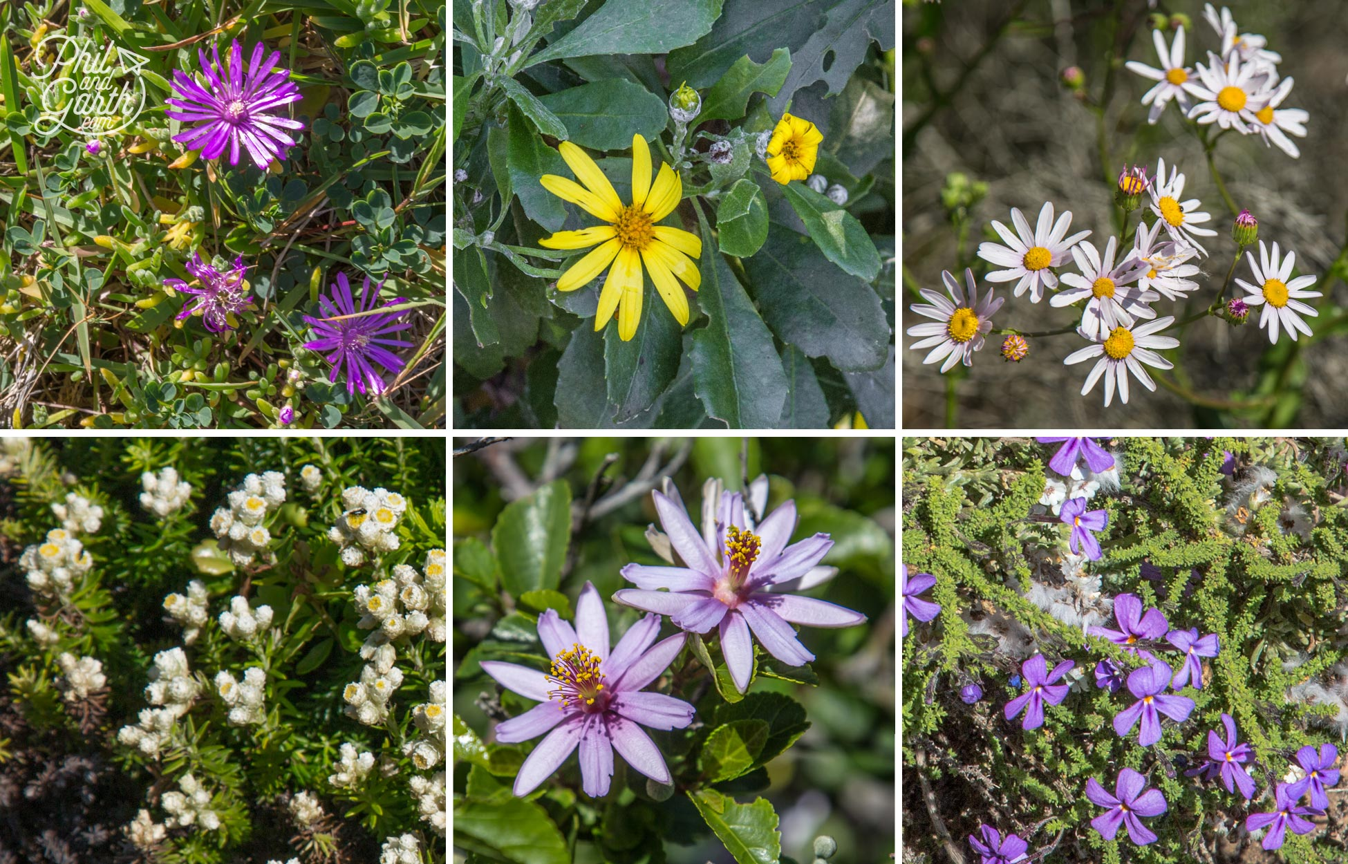 Some of the colourful fynbos flowers along the coast