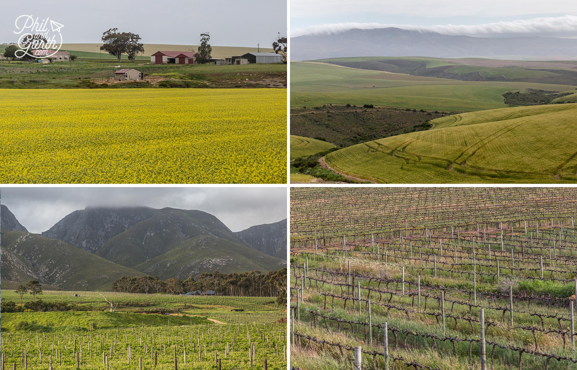 Passing vineyards and canola fields on the way to Hermanus