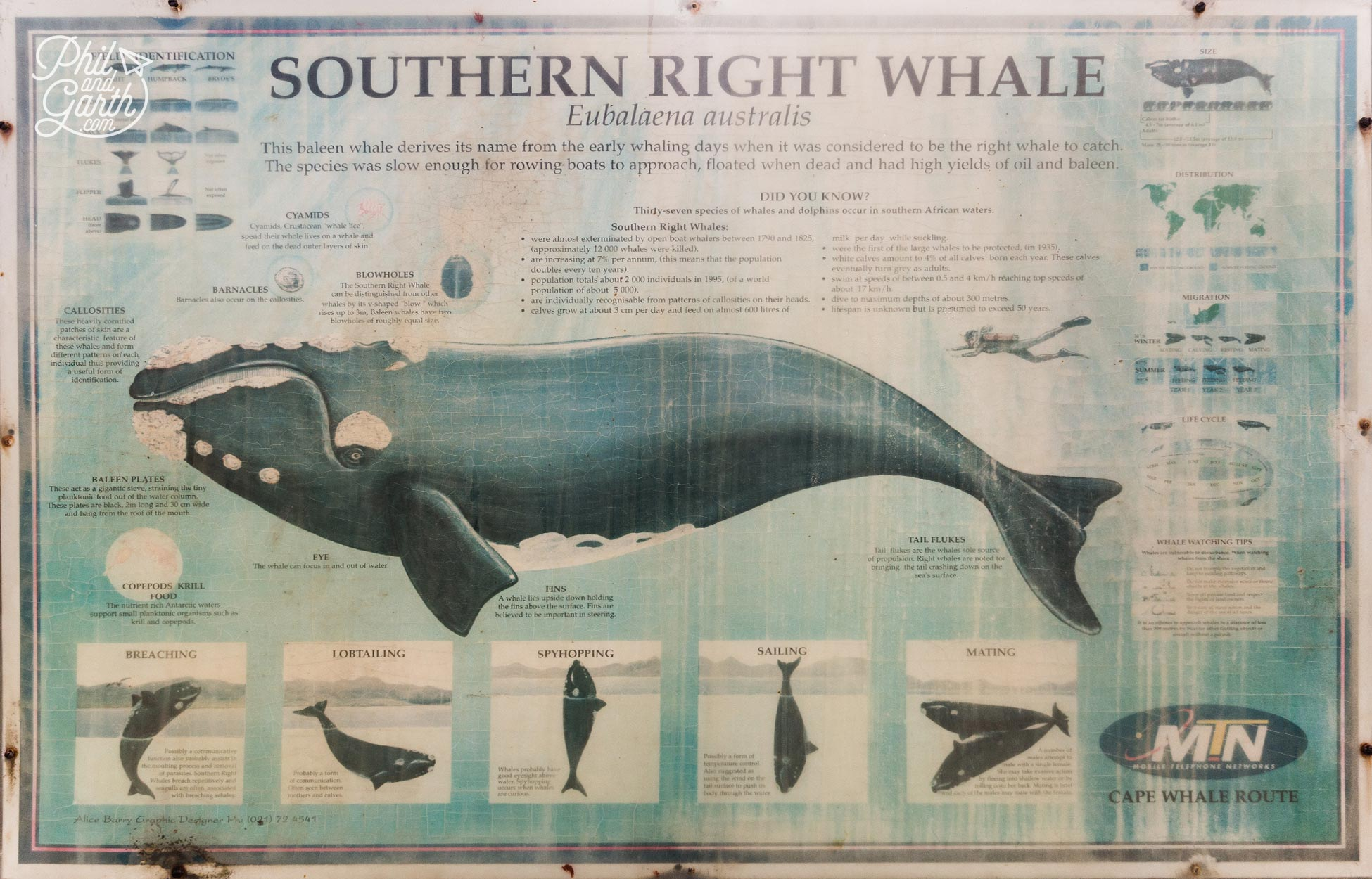 Hermanus Whale Watching - Here's what they look like