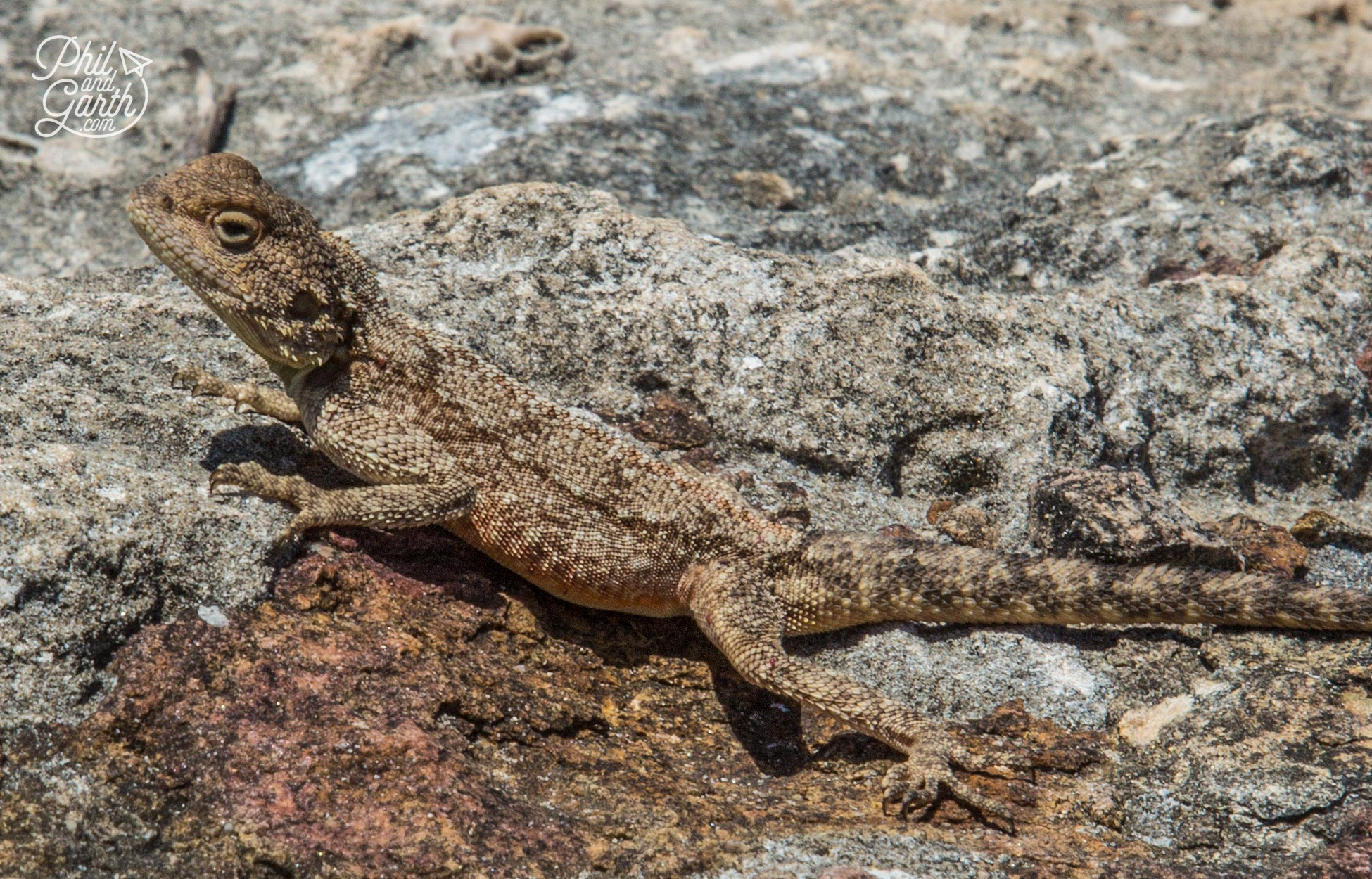 A lizard blends in with the rock, it's possibly an Agama