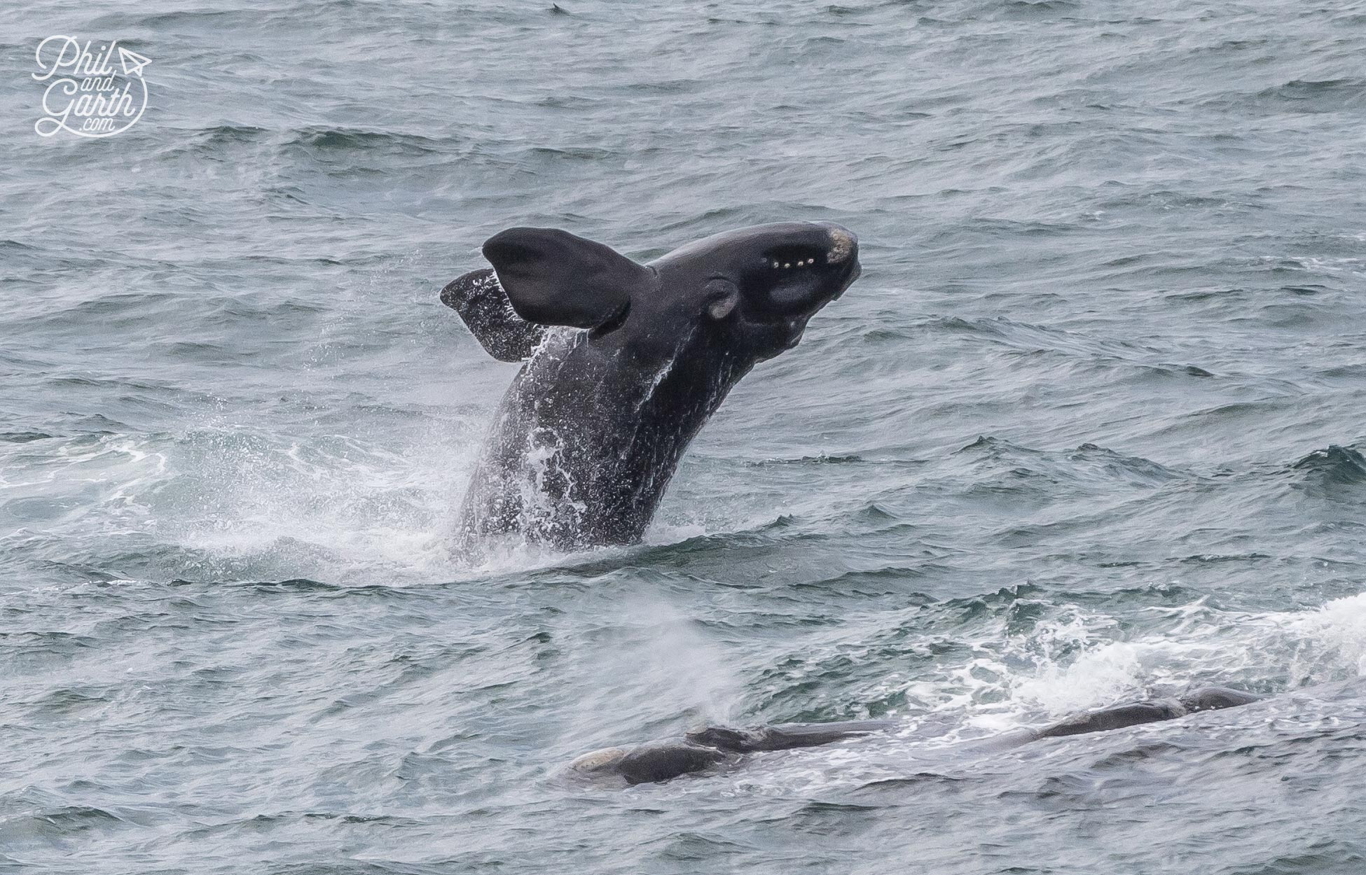 Hermanus Whale Watching - These huge and gentle giants are mesmerising to watch