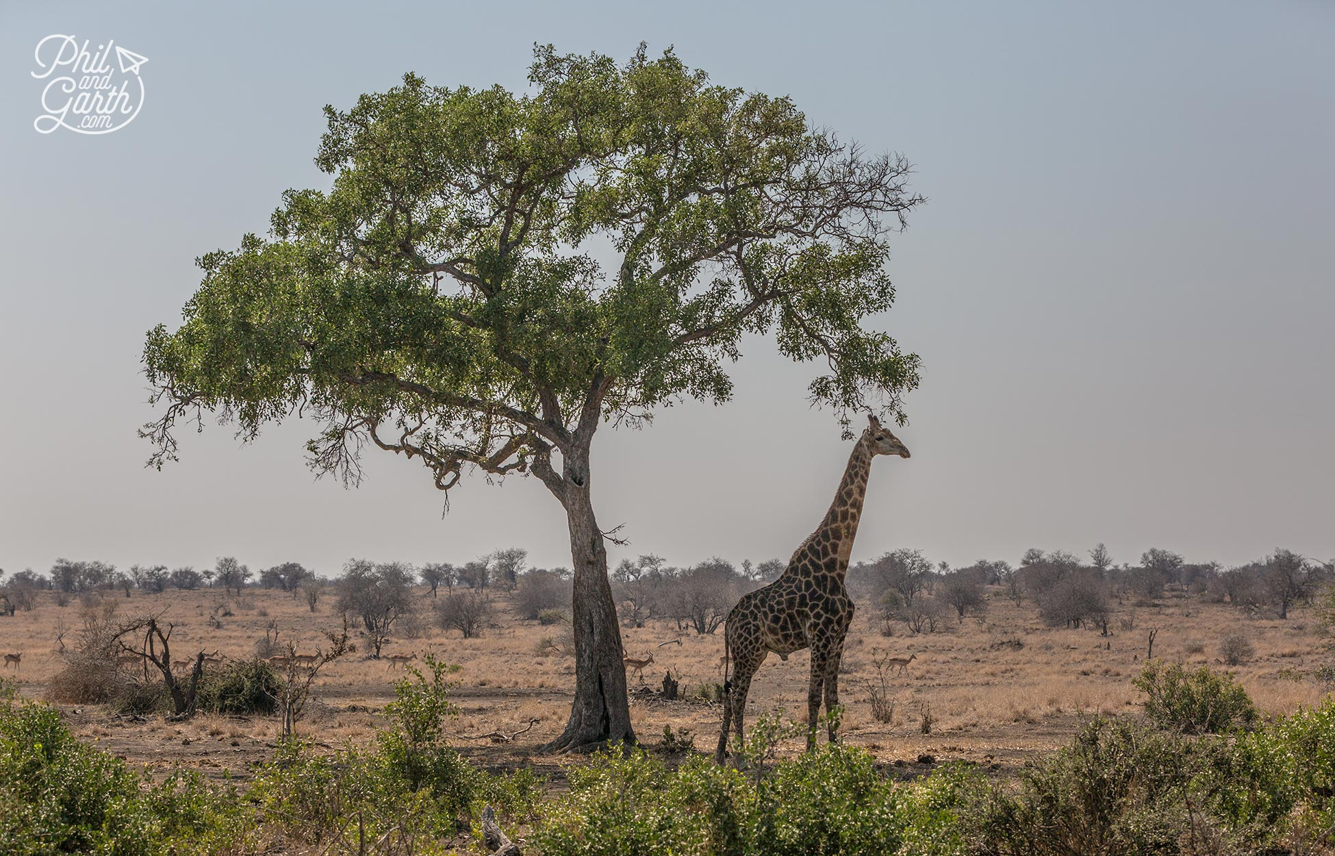 A giraffe takes shelter from the sun in the shade under a tree