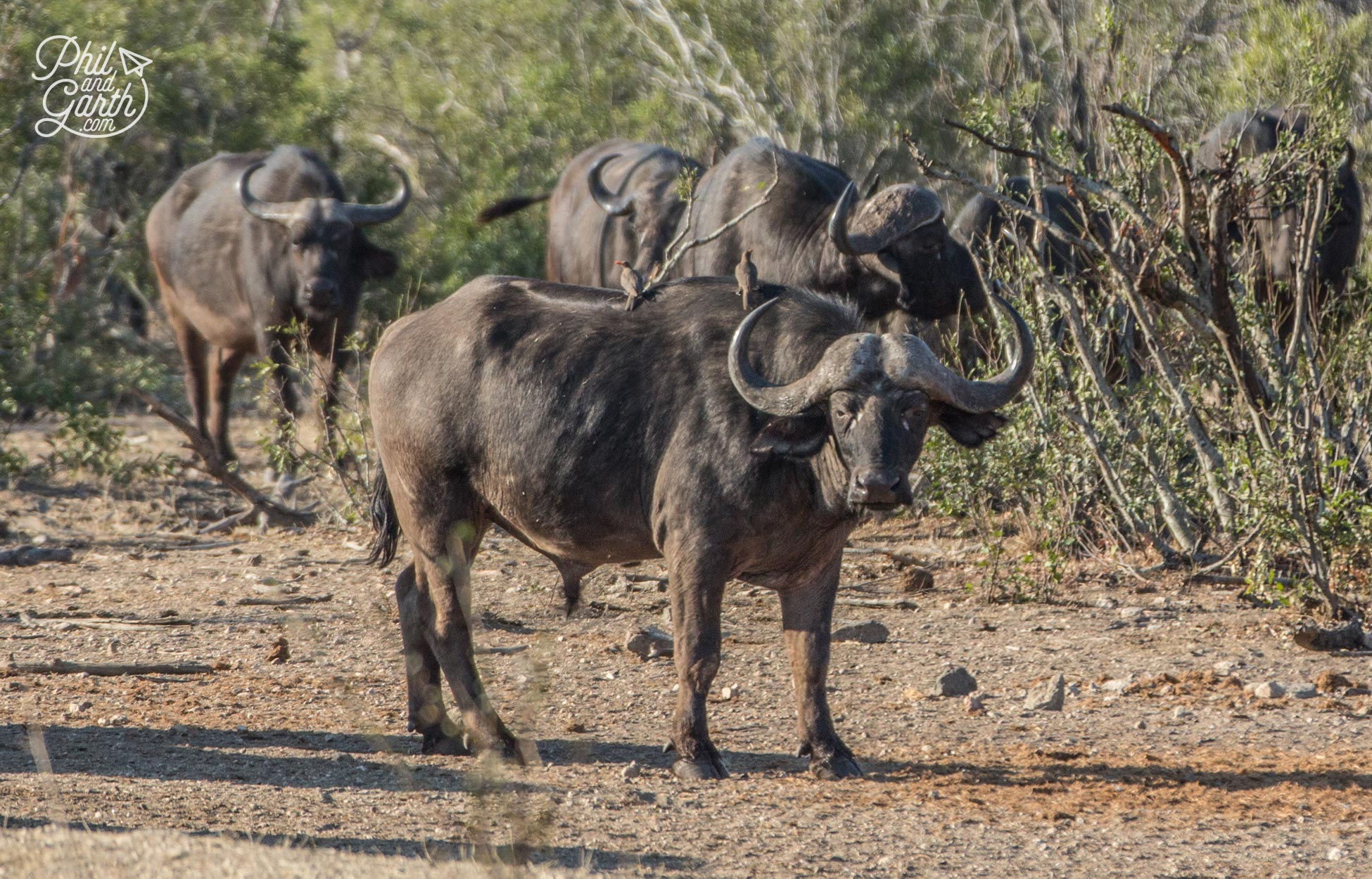 Buffalos - Considered one of the most dangerous animals, because they can charge at the last minute