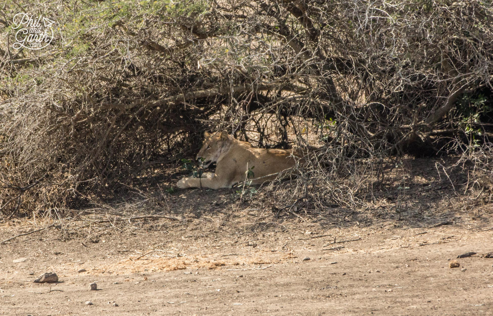 A lioness sits under the shade of a tree, Garth managed to capture her on his long camera lens