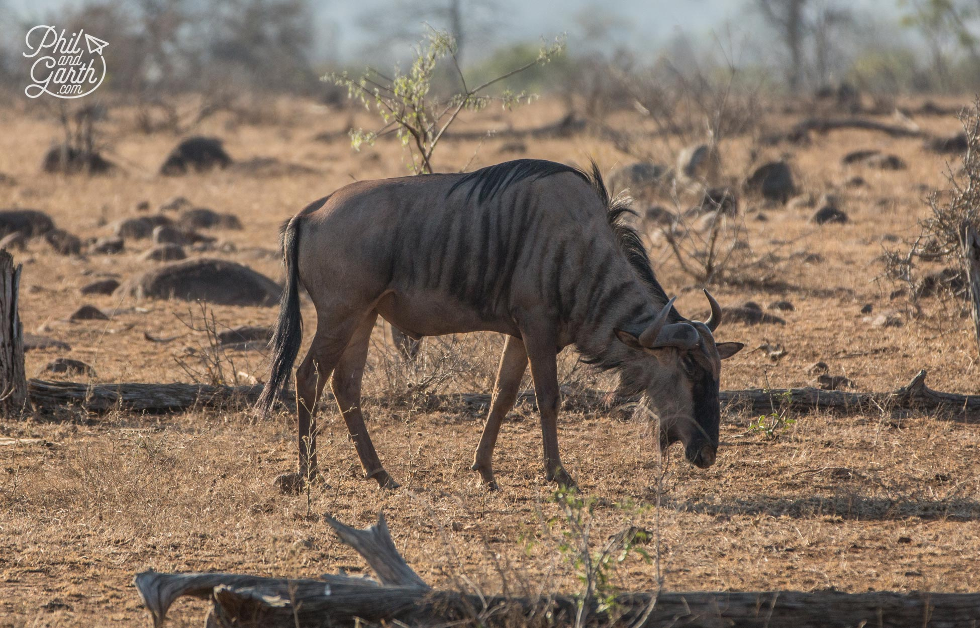An African Wildebeest