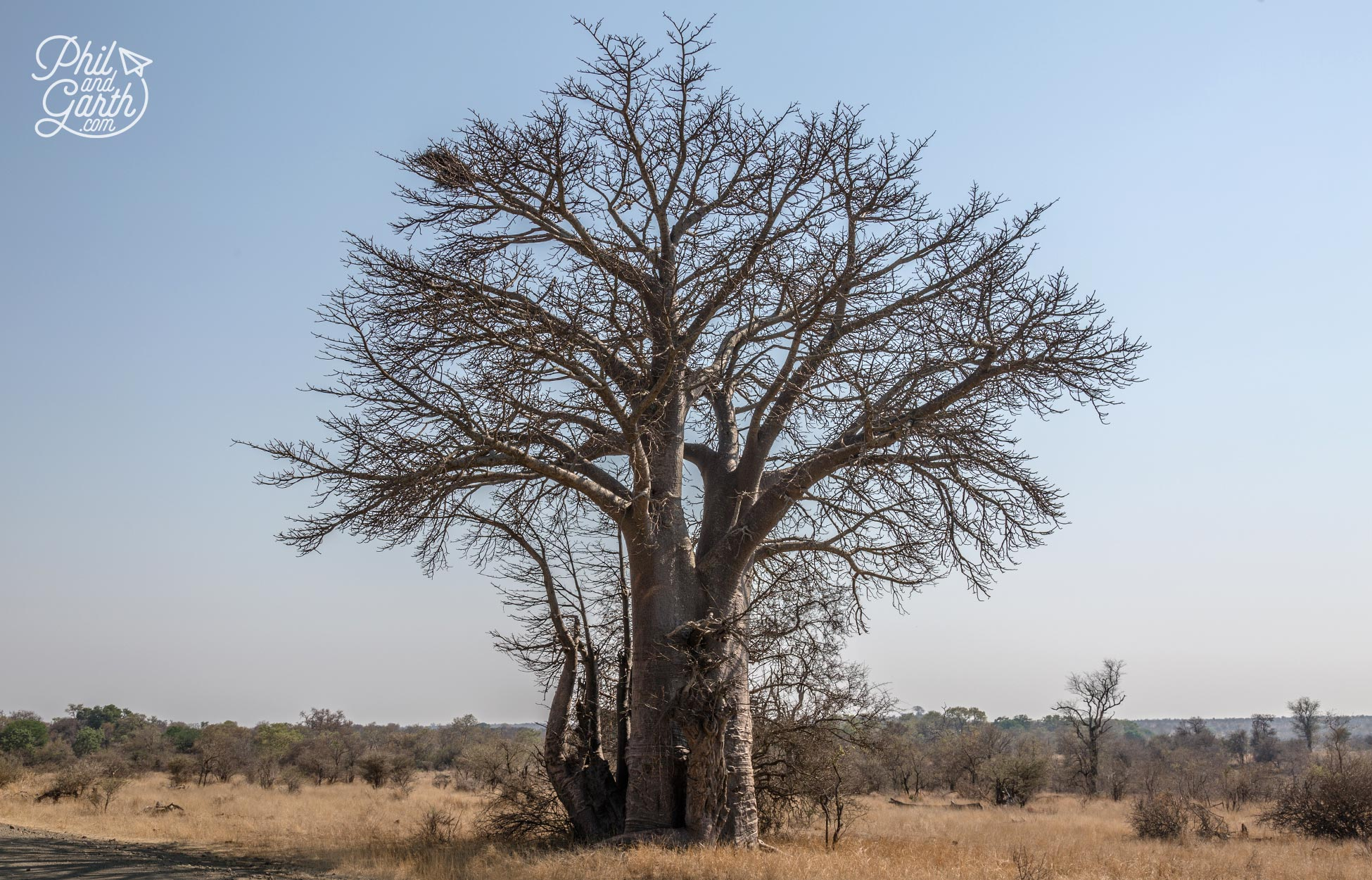 An ancient Baobab tree - Some in Kruger are 4,000 years old