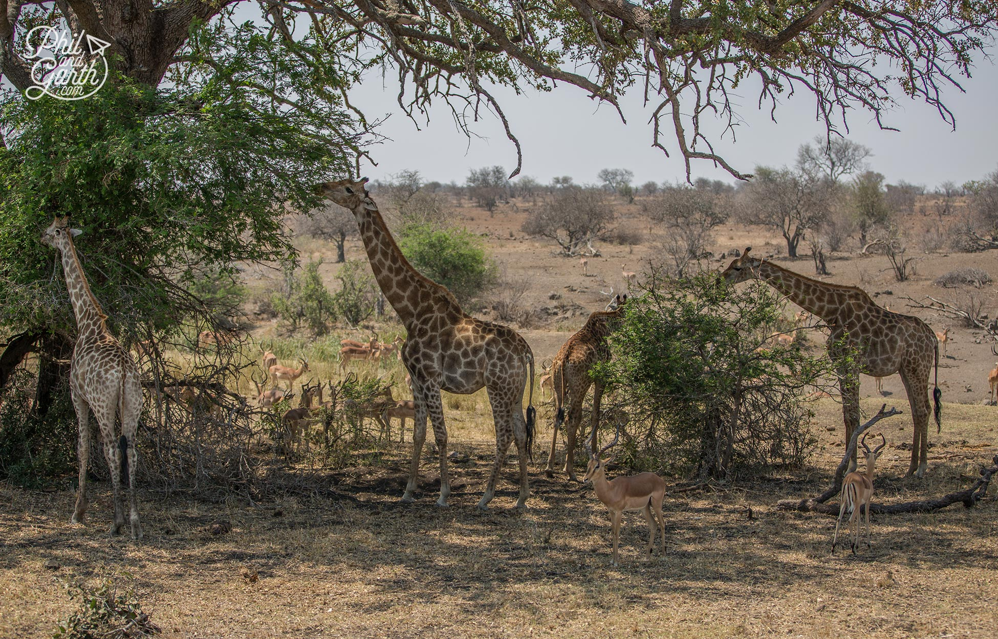Giraffes huddle under the shade of a tree