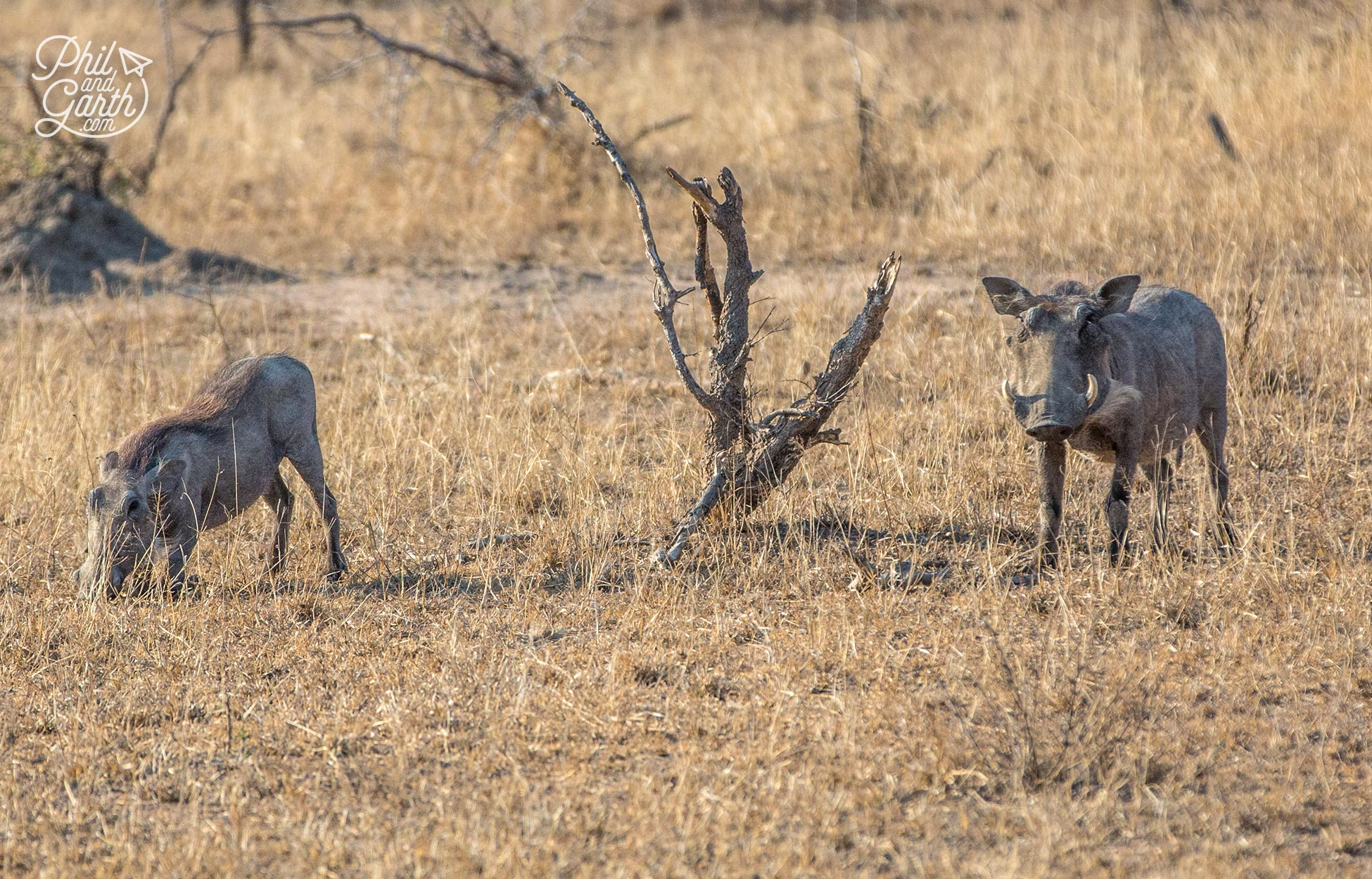 A couple of warthogs in the early morning sunshine