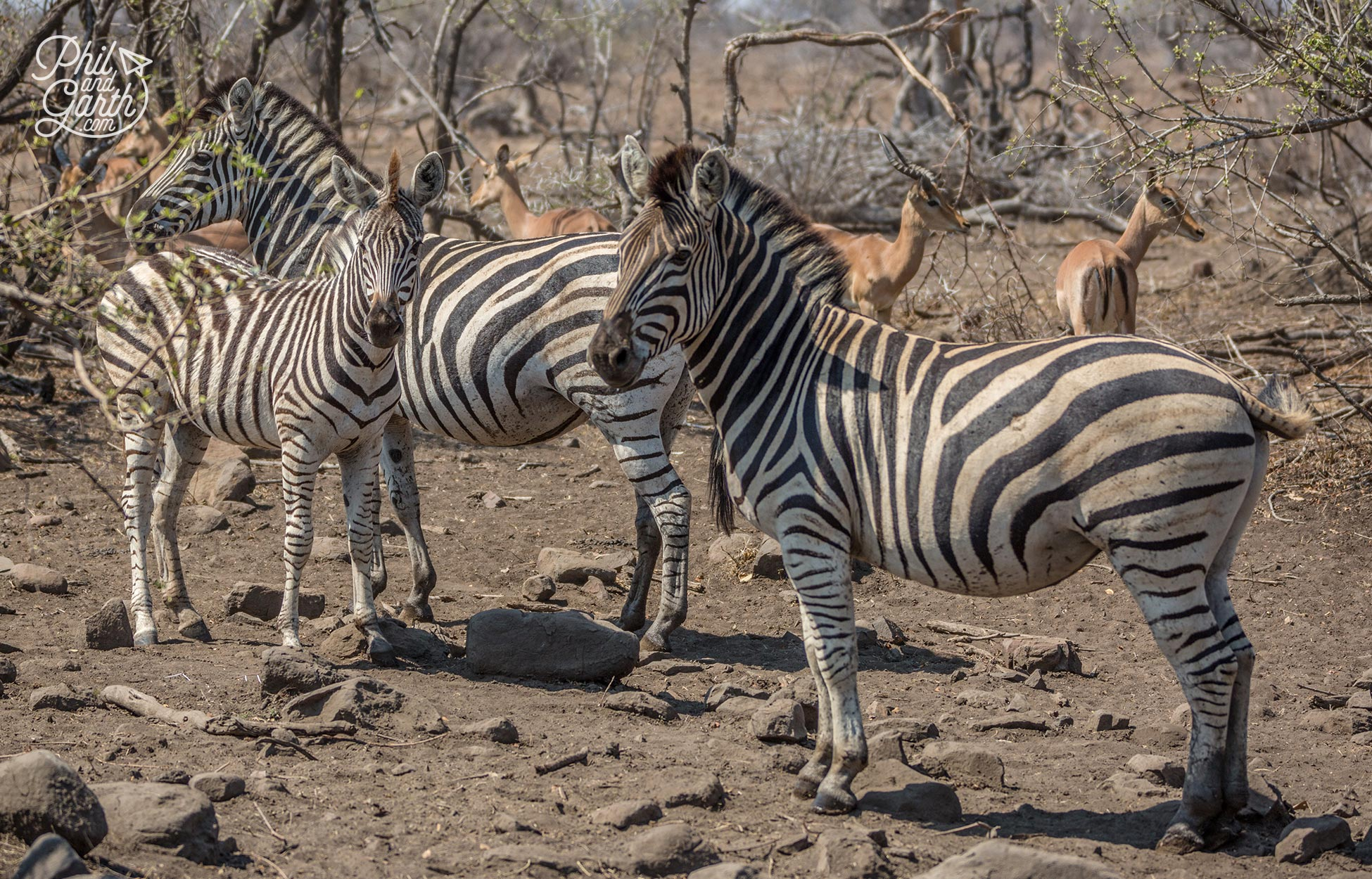 2 day Kruger National Park Safari - Zebras gather near to a watering hole - Zebras really do look like painted horses