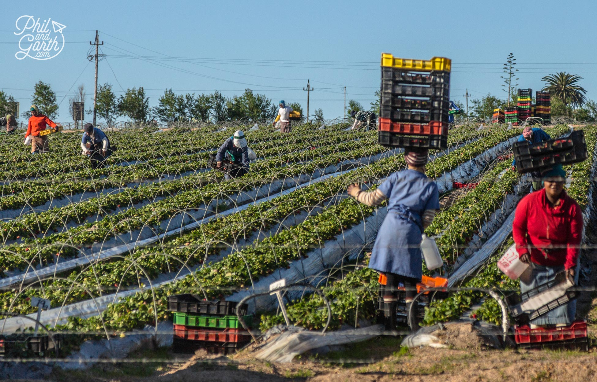 South African strawberry pickers expertly balancing boxes on their heads!