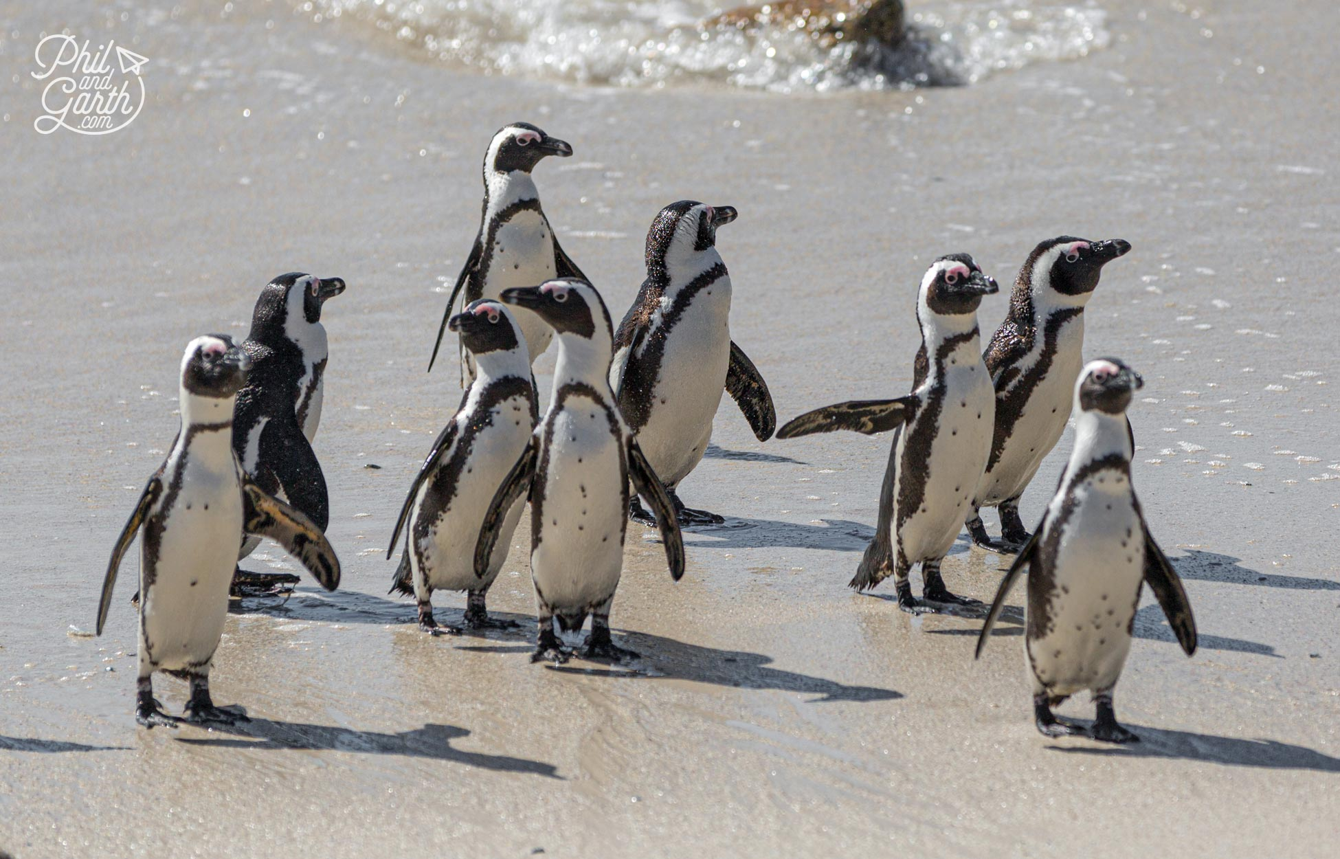 A group of African penguins return to the beach after taking a dip