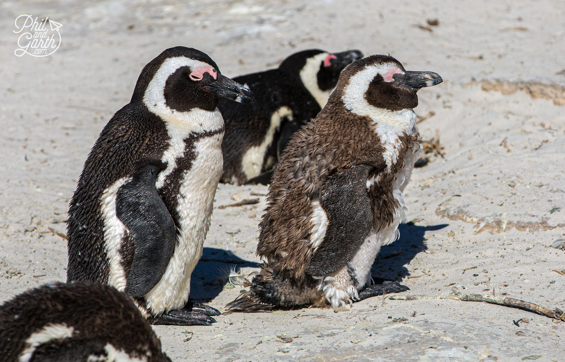 Penguins moult annually - they are confined to land for 21 days until the old feathers are replaced.