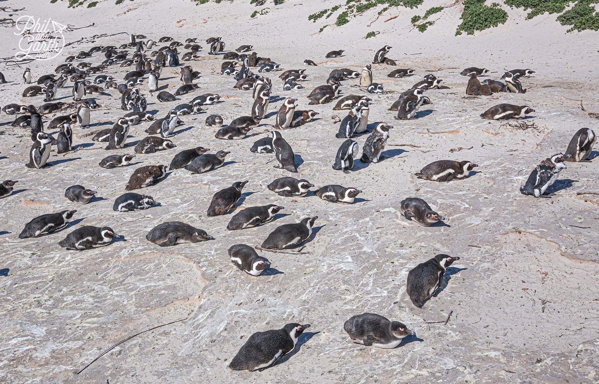African penguins are social breeders and nest together in colonies.