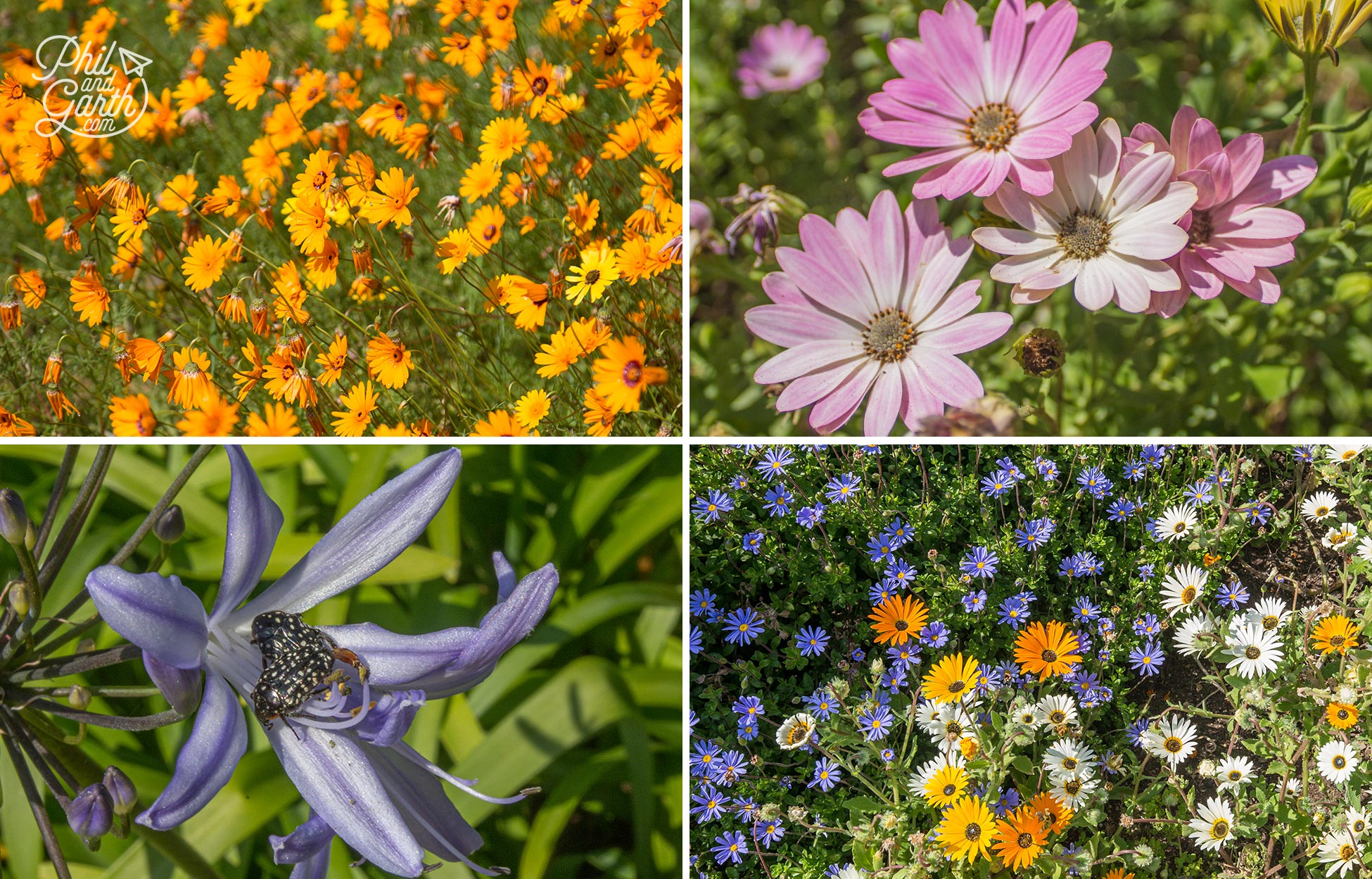 A huge selection of flowers-and plants at Kirstenbosch, love all the Cape Daisies