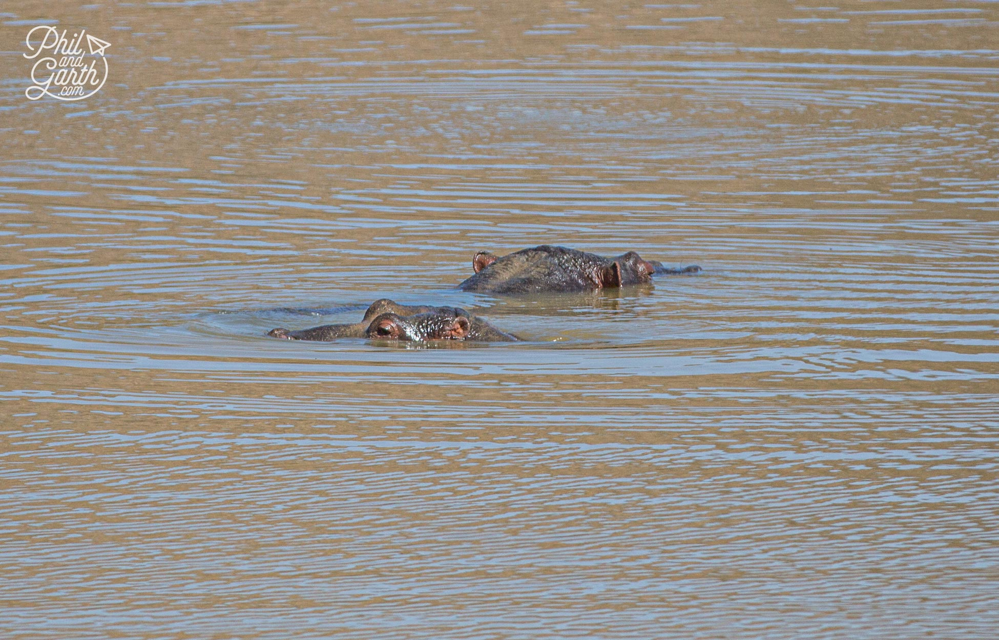 A couple of hippos in the lake